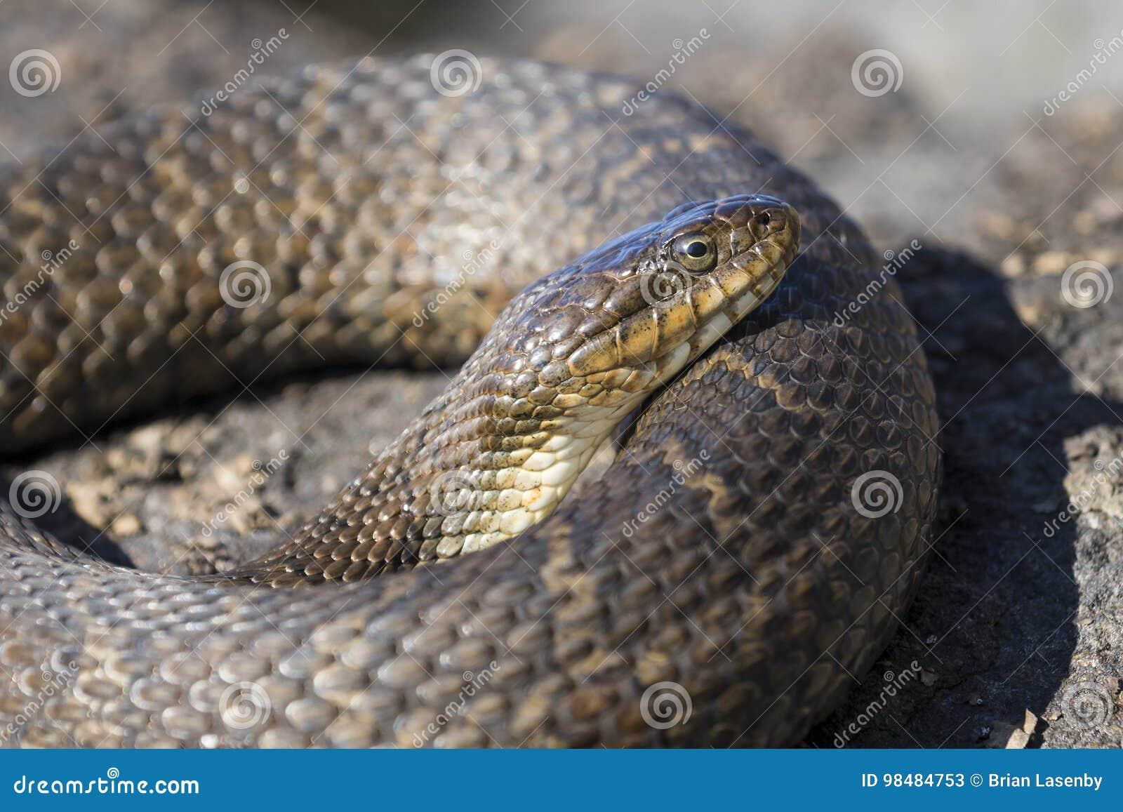Sipedon septentrional del sipedon del Nerodia de la serpiente de agua que toma el sol en una roca