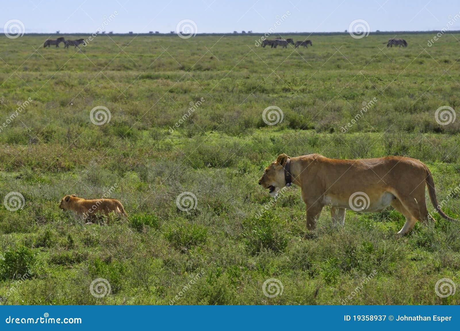 Sira de mãe ao colar de rádio desgastando do leão, com filhote