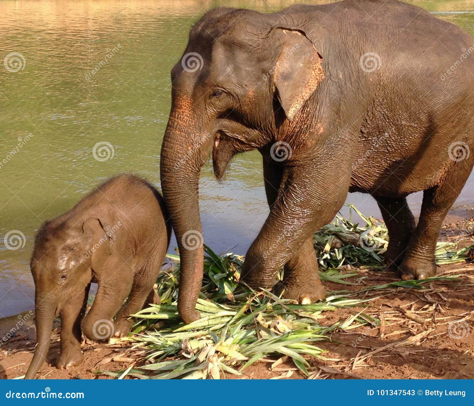 Sira de mãe ao elefante com o elefante do bebê em Nam Khan River em Laos