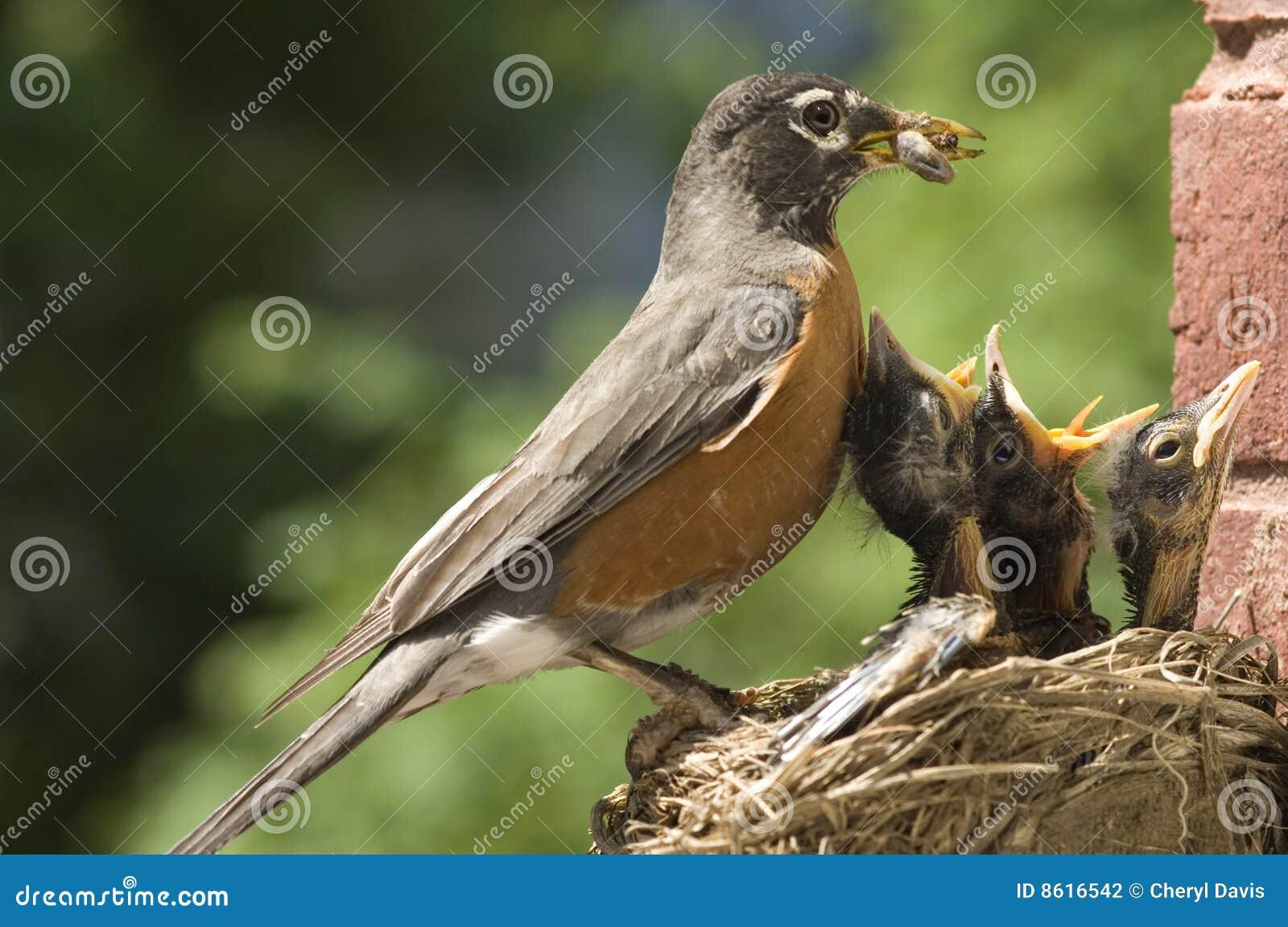 Sira de mãe a bebês de alimentação do pisco de peito vermelho