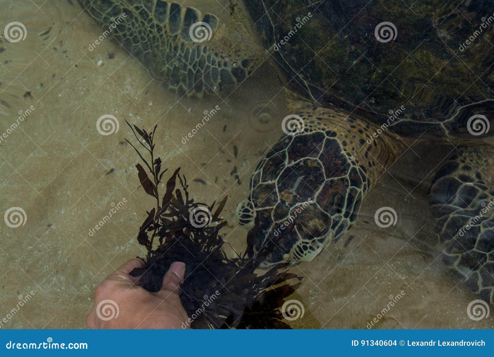 Sirva la tortuga de alimentación con la mala hierba del mar en la playa