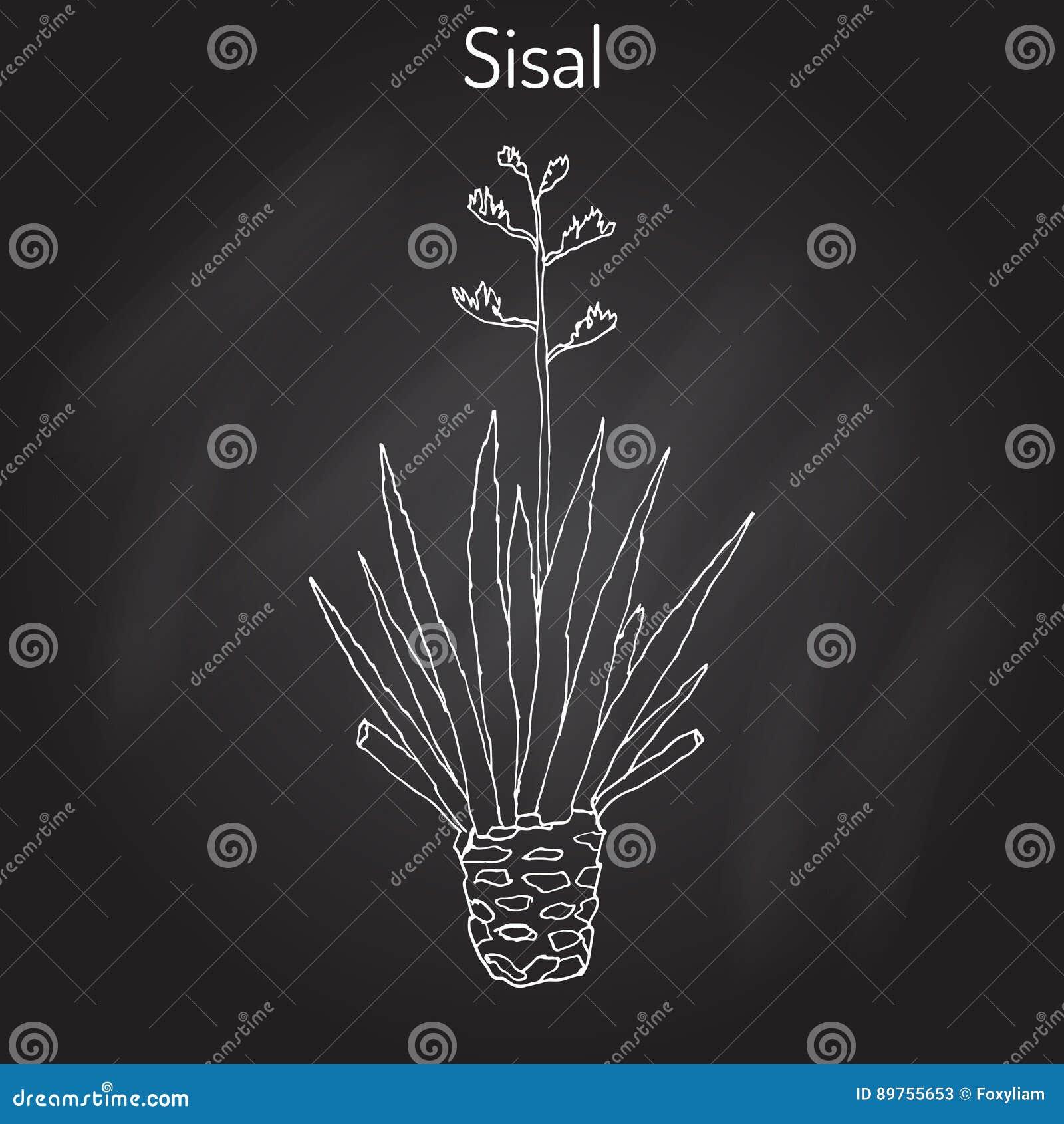 sisalana da agave do sisal planta de fibra