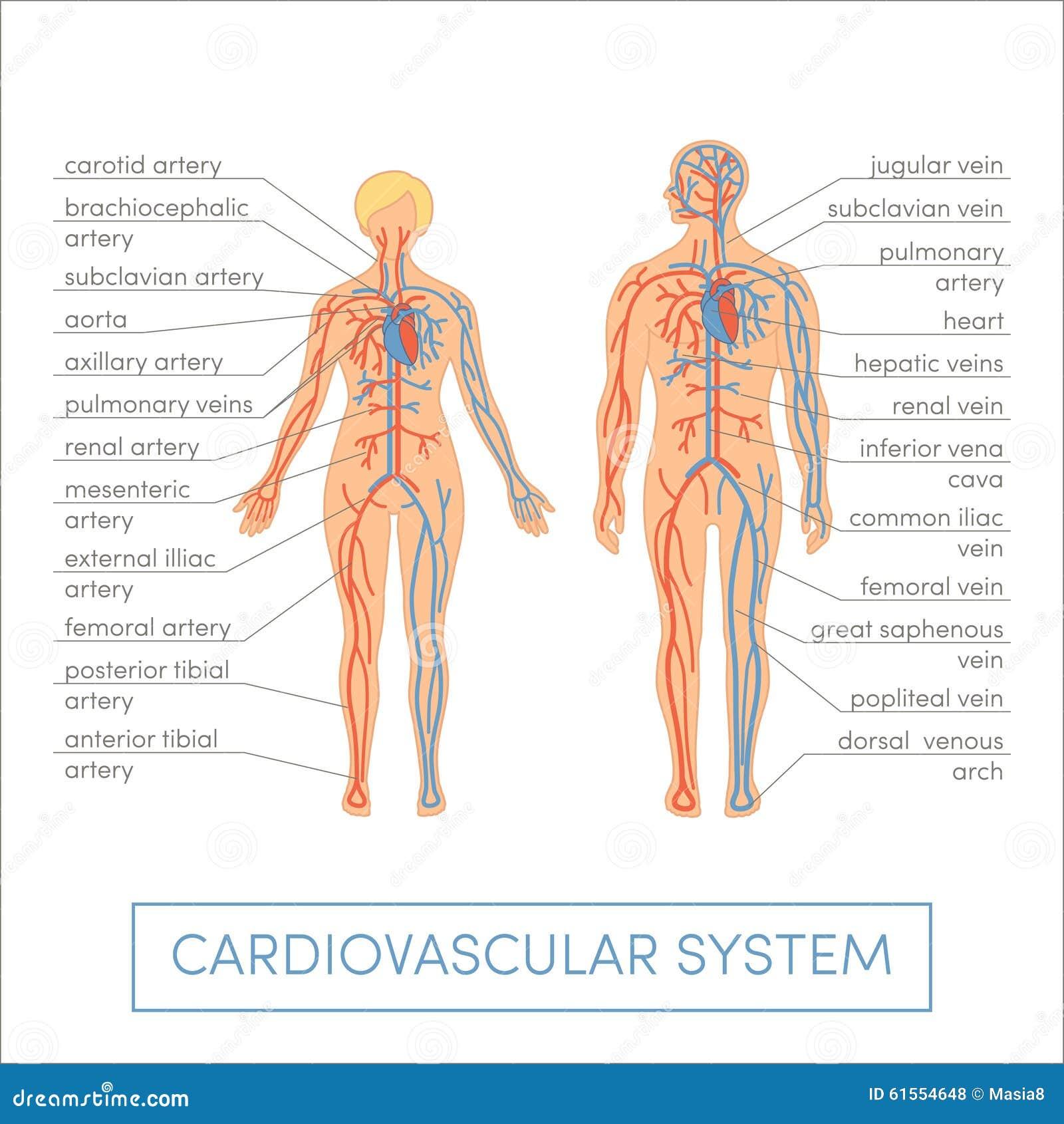 Sistema cardiovascular stock de ilustración. Ilustración de ...