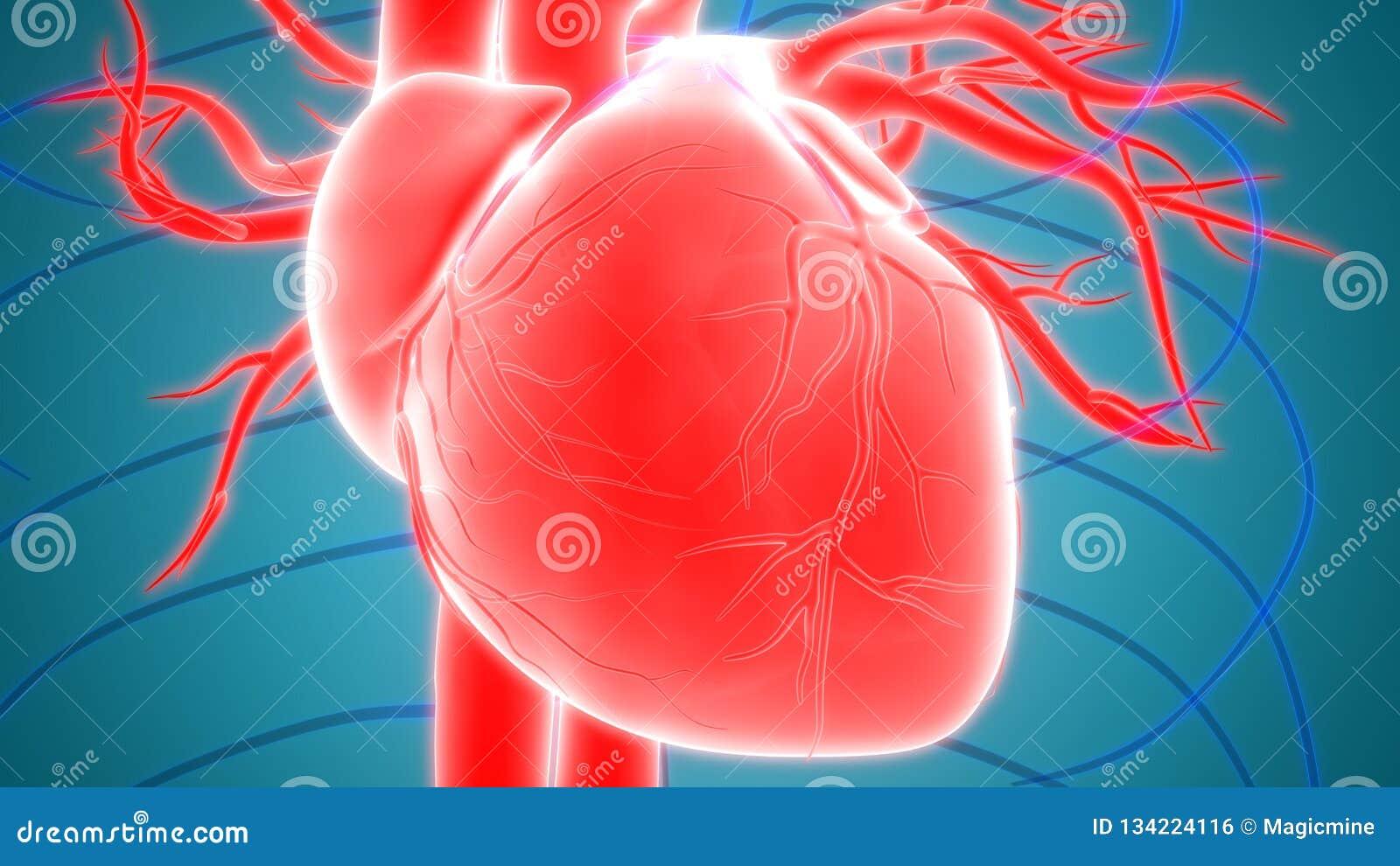 Sistema cardiovascular dos órgãos do corpo humano com anatomia do coração