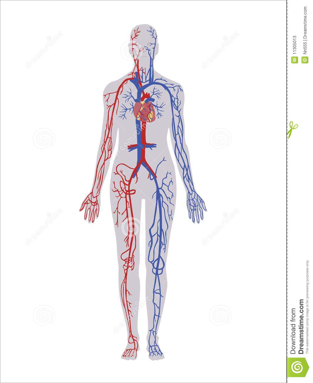 Vascular System In The Head And Neck in addition Ciculatory Problems 30980041 likewise Pelvic And Lower Extremity Arteries also Lecture   Early Vascular Development further Royalty Free Stock Photos Human Vascular System Image22096538. on vascular system arteries