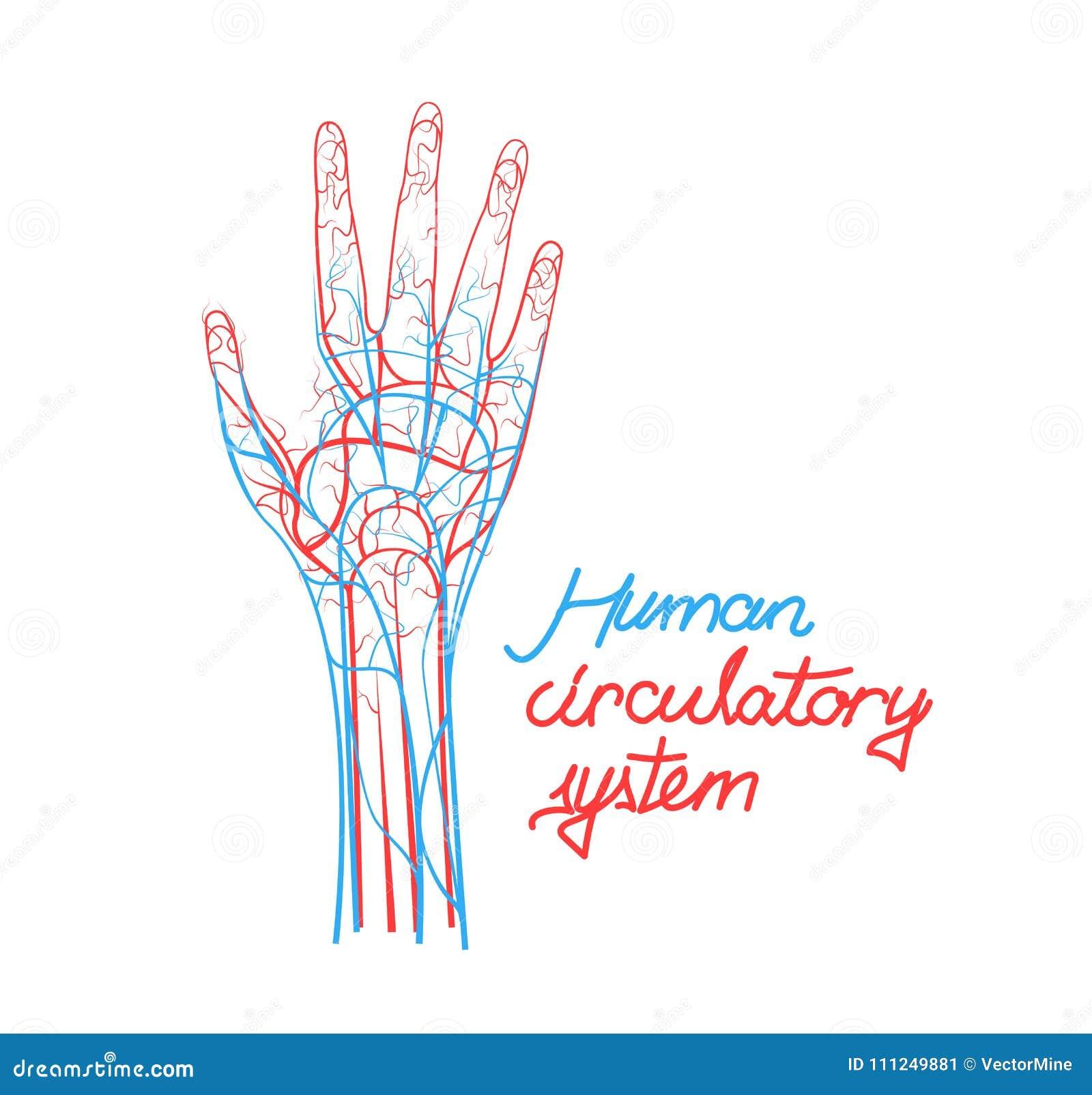Sistema Circulatorio Conceptual De La Sangre Humana Esquema De Los ...