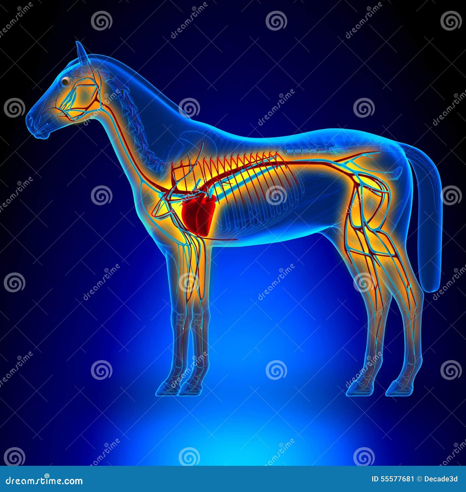Sistema Circulatorio Del Corazón Del Caballo - Anatomía Del Equus ...