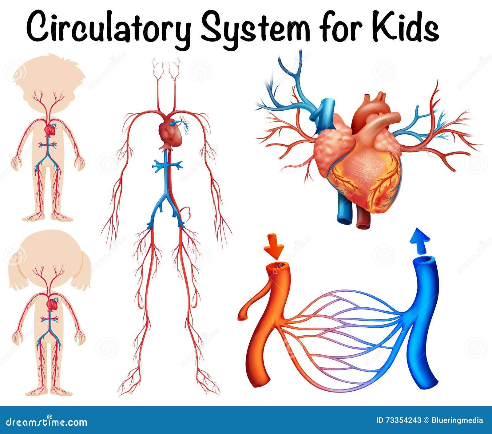 Sistema Circulatorio Para Los Niños Ilustración del Vector ...
