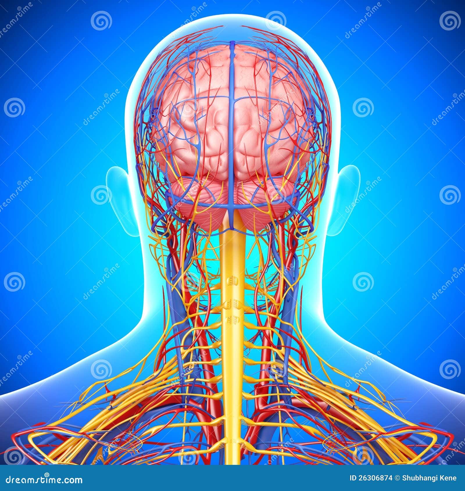 Sistema Circulatorio Y Nervioso De Cabeza Masculina Stock de ...