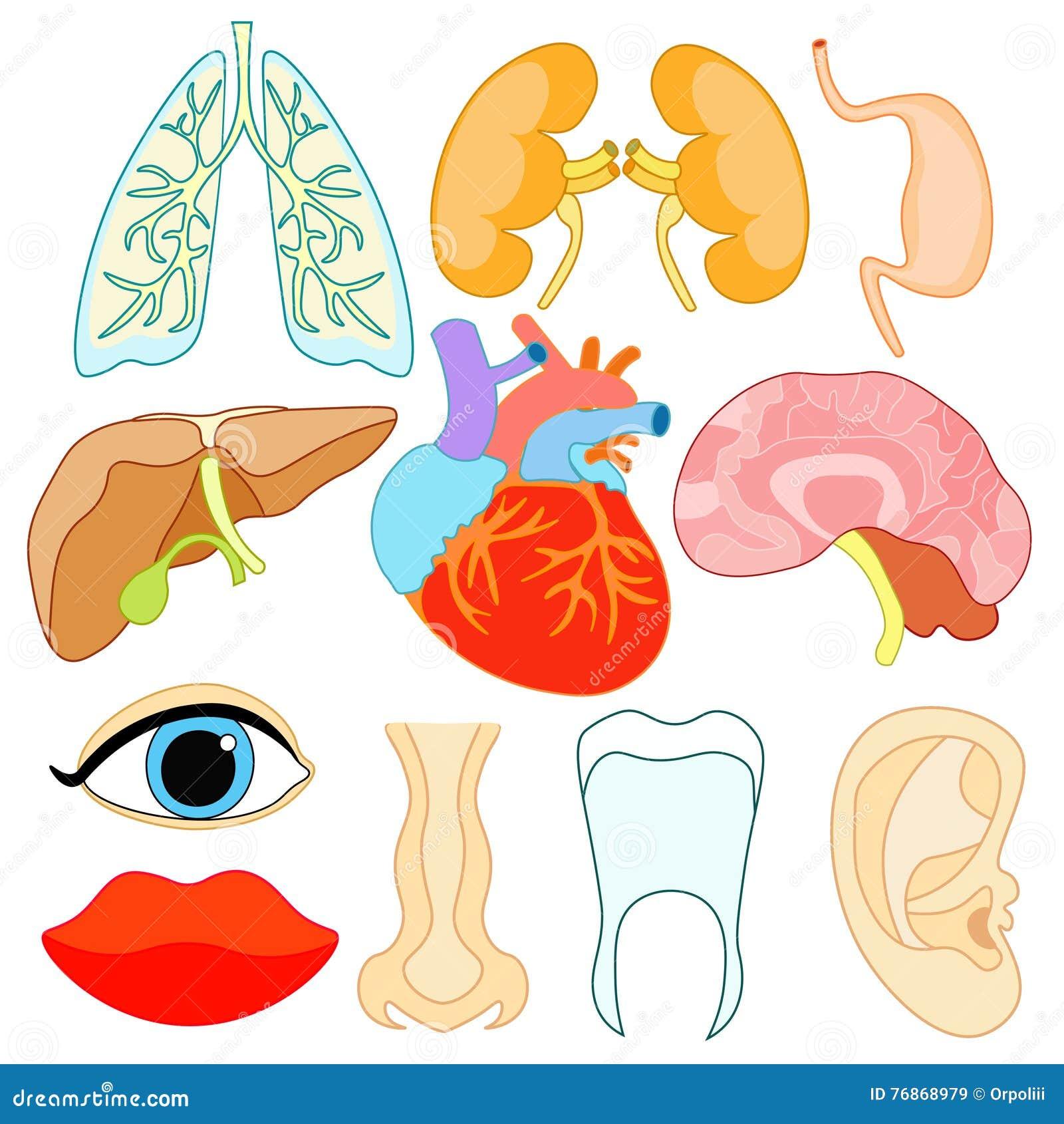 Sistema De órganos Dentro Del Cuerpo Humano Y De La Cara Vector ...