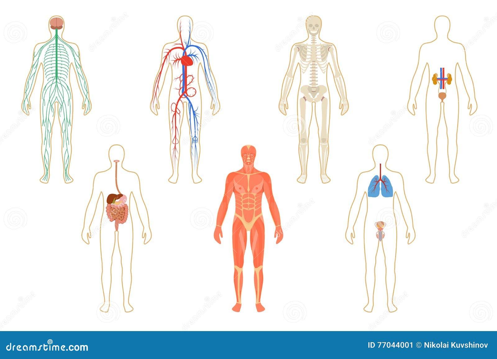 Sistema De órganos Humanos Y Sistemas Del Cuerpo Ilustración del ...