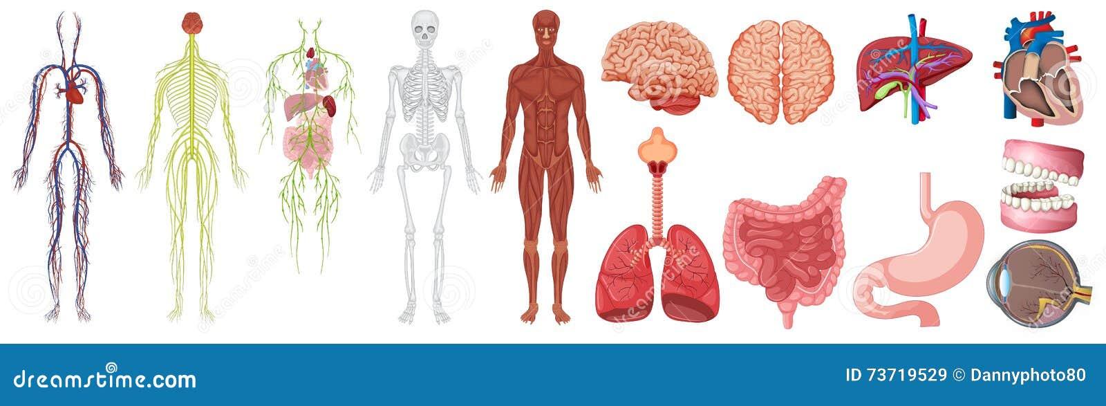 Encantador Anatomía De La Oyen Componente - Anatomía de Las ...