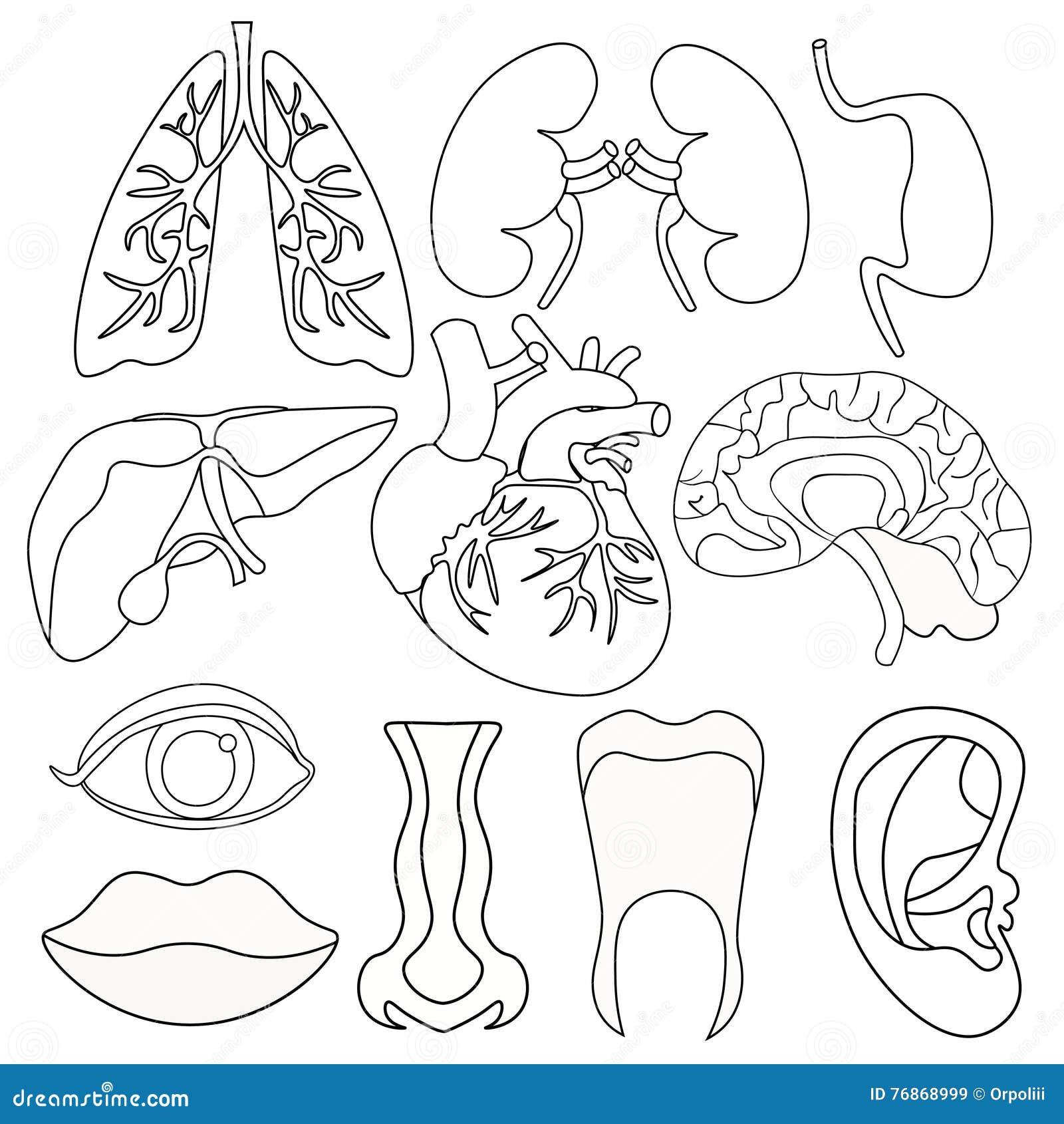 Sistema De Colorear Los órganos Humanos Dentro Del Cuerpo Y De La ...