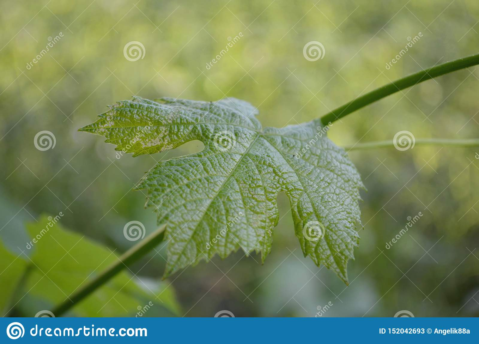 Sistema de hojas de la uva