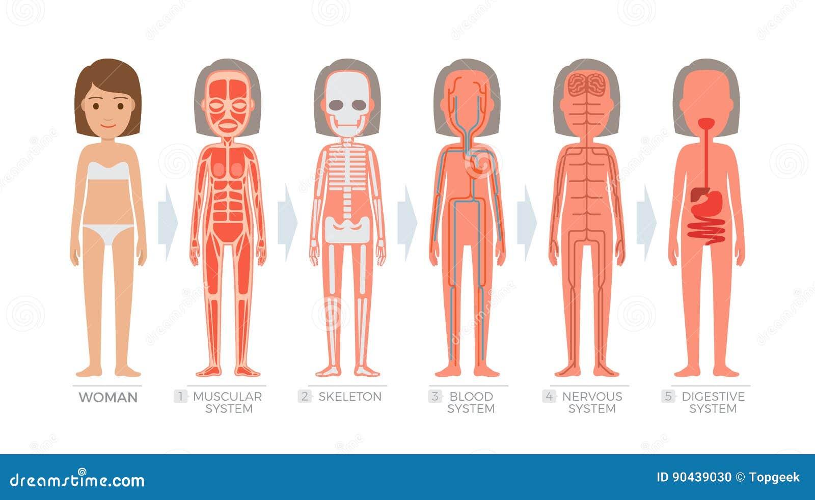 Sistema De La Anatomía De La Mujer Y Estructura Del Cuerpo Humano ...