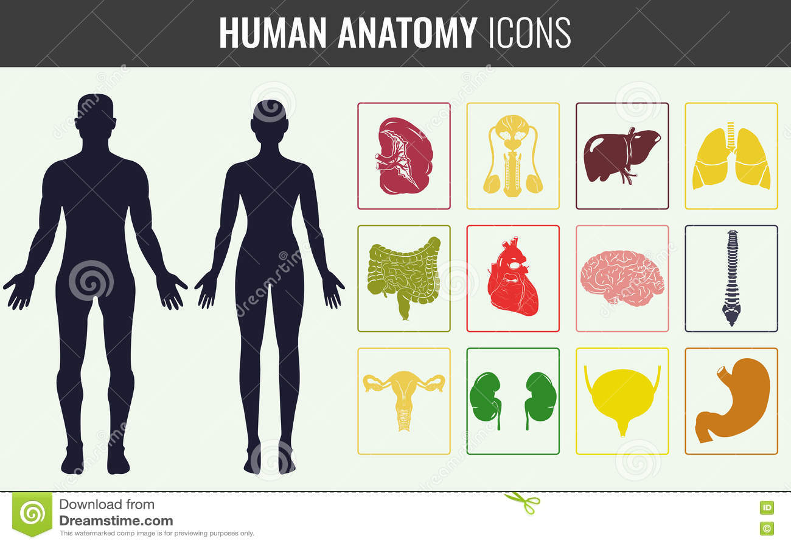 Sistema De La Anatomía Del órgano Humano Vector Ilustración del ...