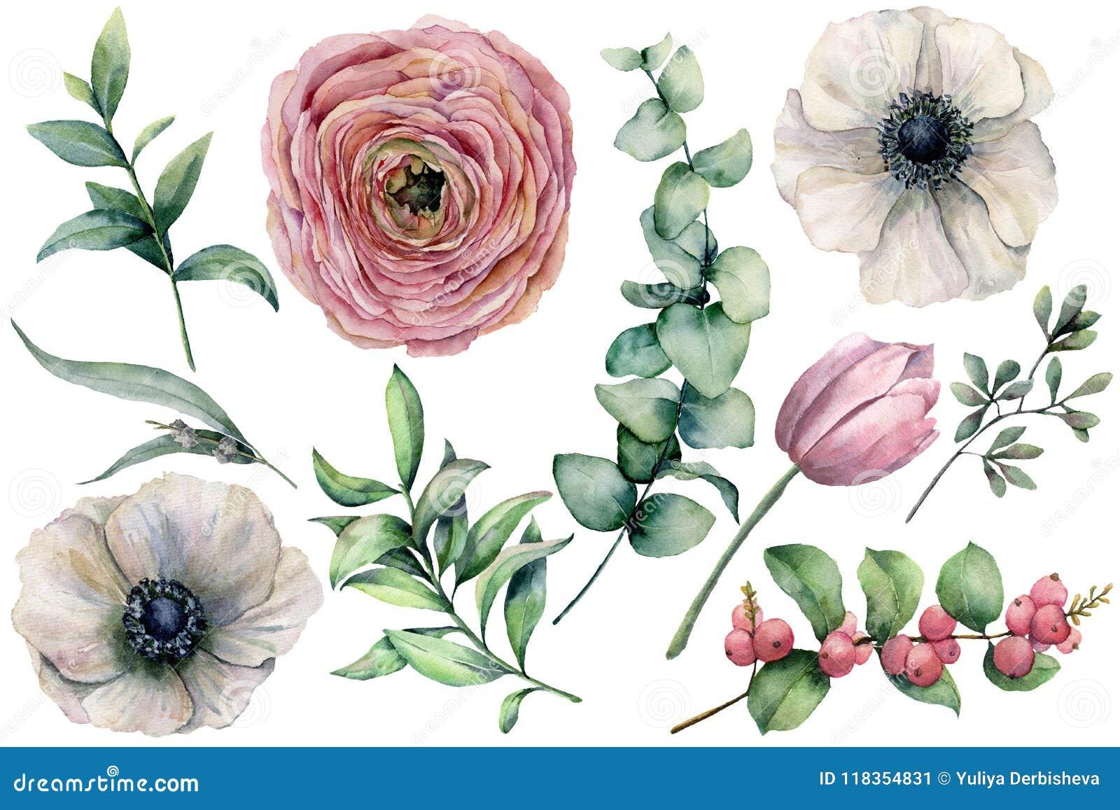 Sistema de la flor de la acuarela con las hojas del eucalipto Anémona, ranúnculo, tulipán, bayas pintadas a mano y rama aislados
