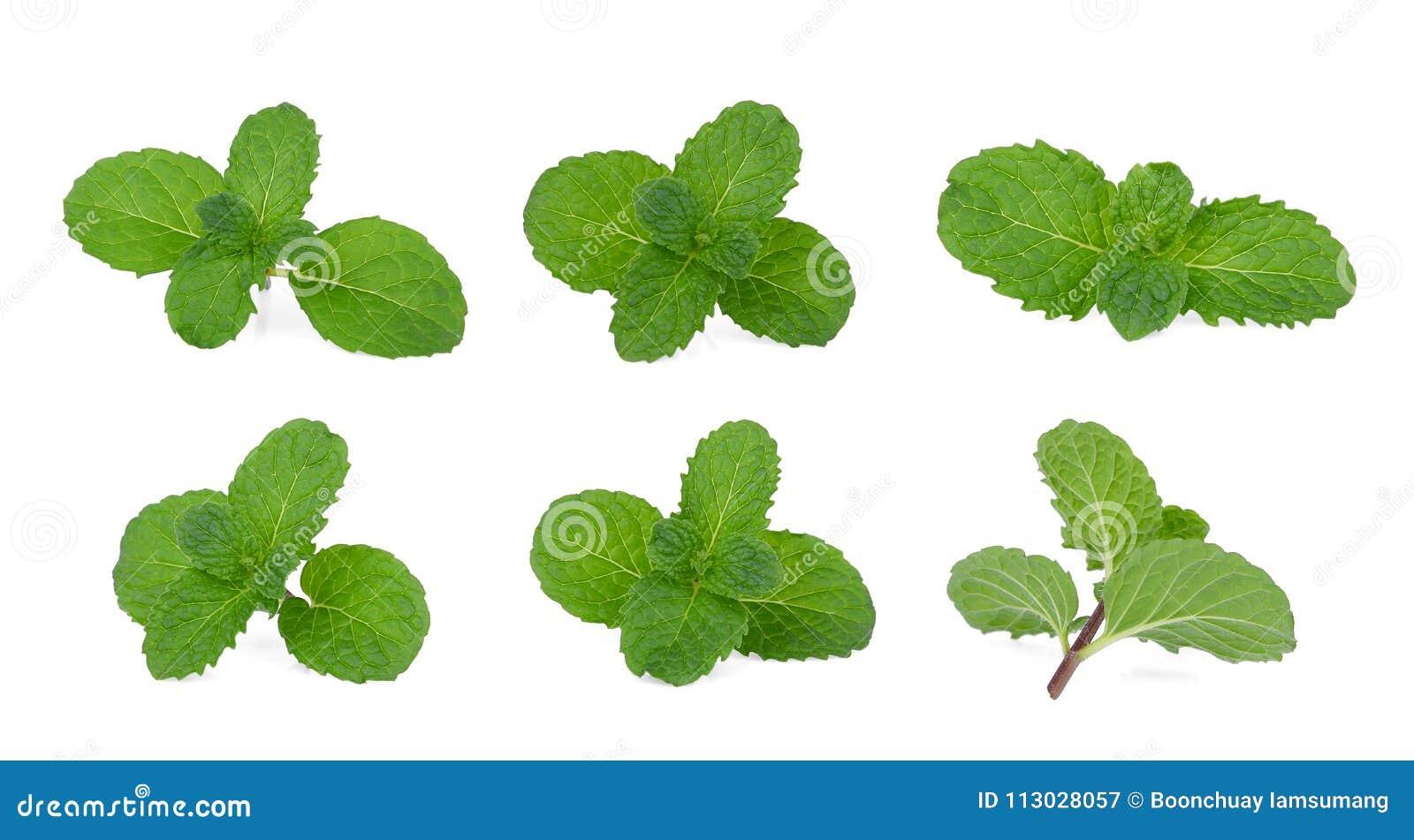 Sistema de la hoja verde fresca de la menta aislada en blanco