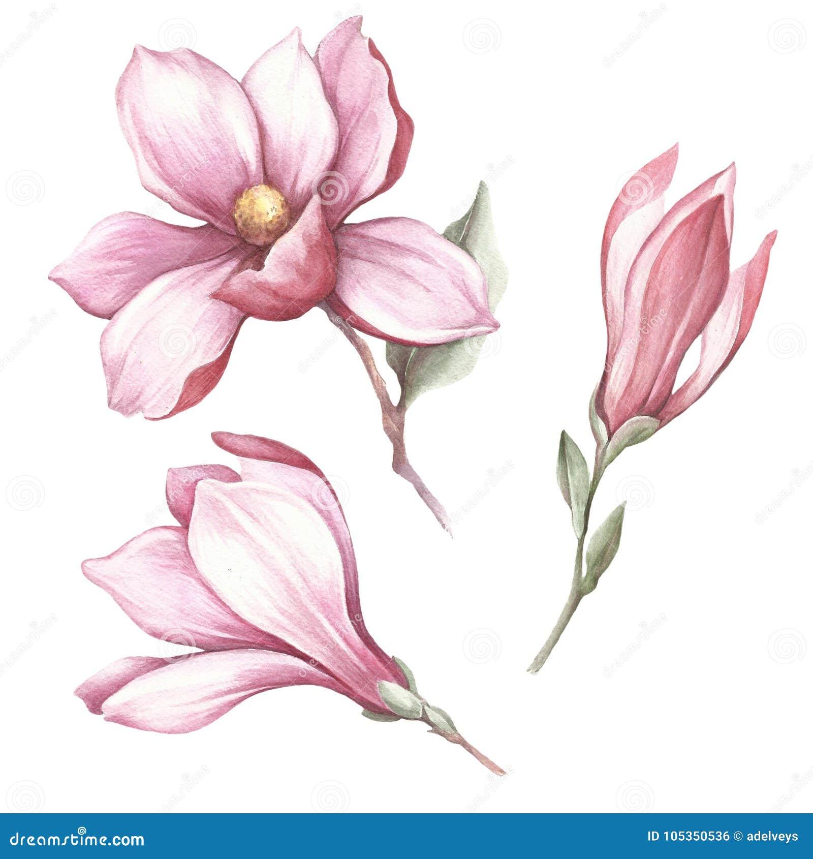 Sistema de la magnolia floreciente Ejemplo de la acuarela del drenaje de la mano