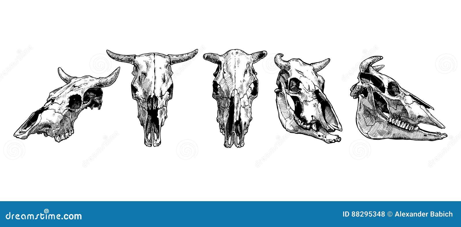 Sistema Del Cráneo De La Vaca Y Del Toro Ilustración del Vector ...