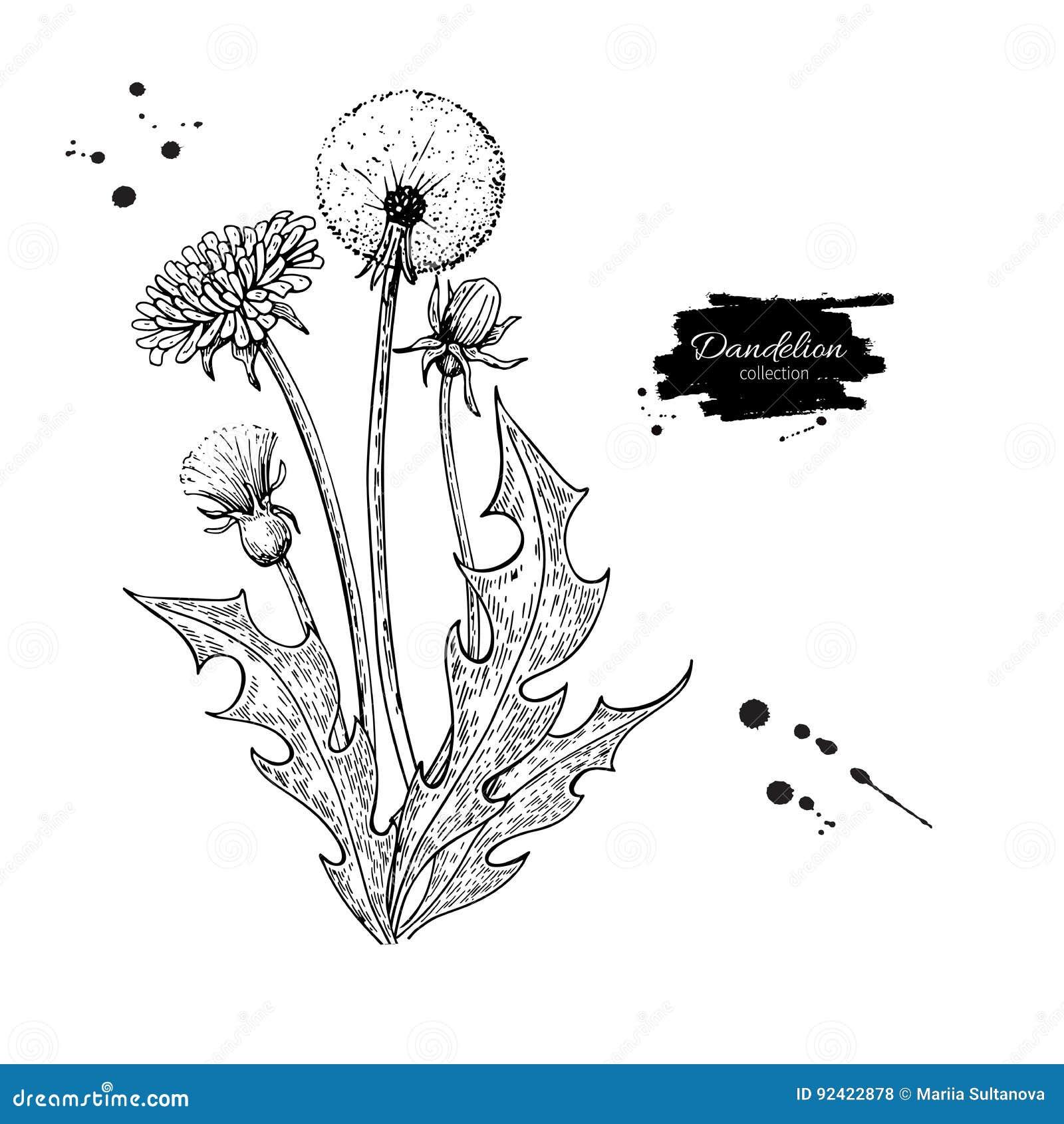Sistema del dibujo del vector de la flor del diente de león Planta silvestre y hojas aisladas Estilo grabado herbario