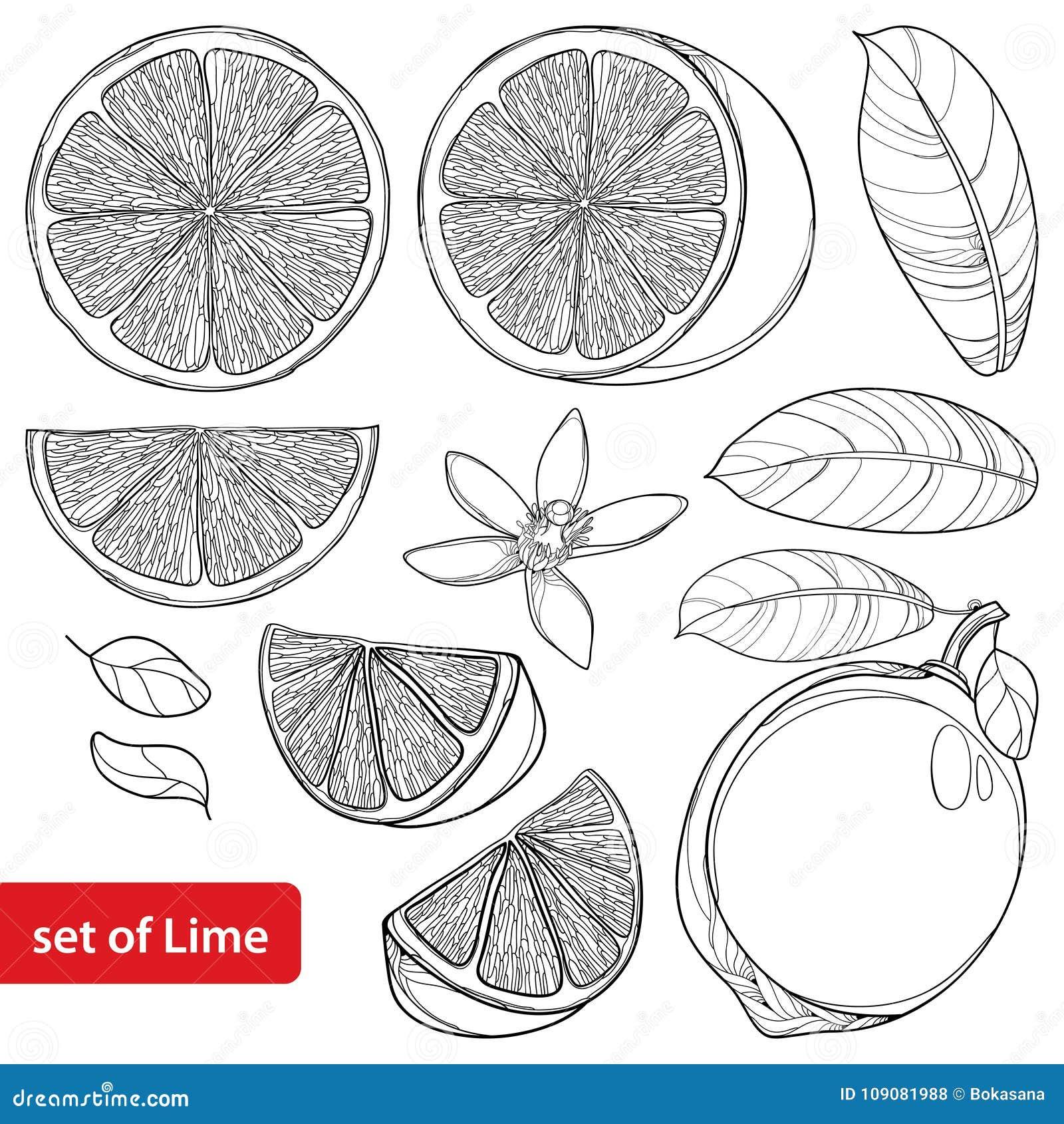Sistema del vector con la cal del esquema aislada en el fondo blanco La fruta media y entera, los pedazos cortados, la hoja y la