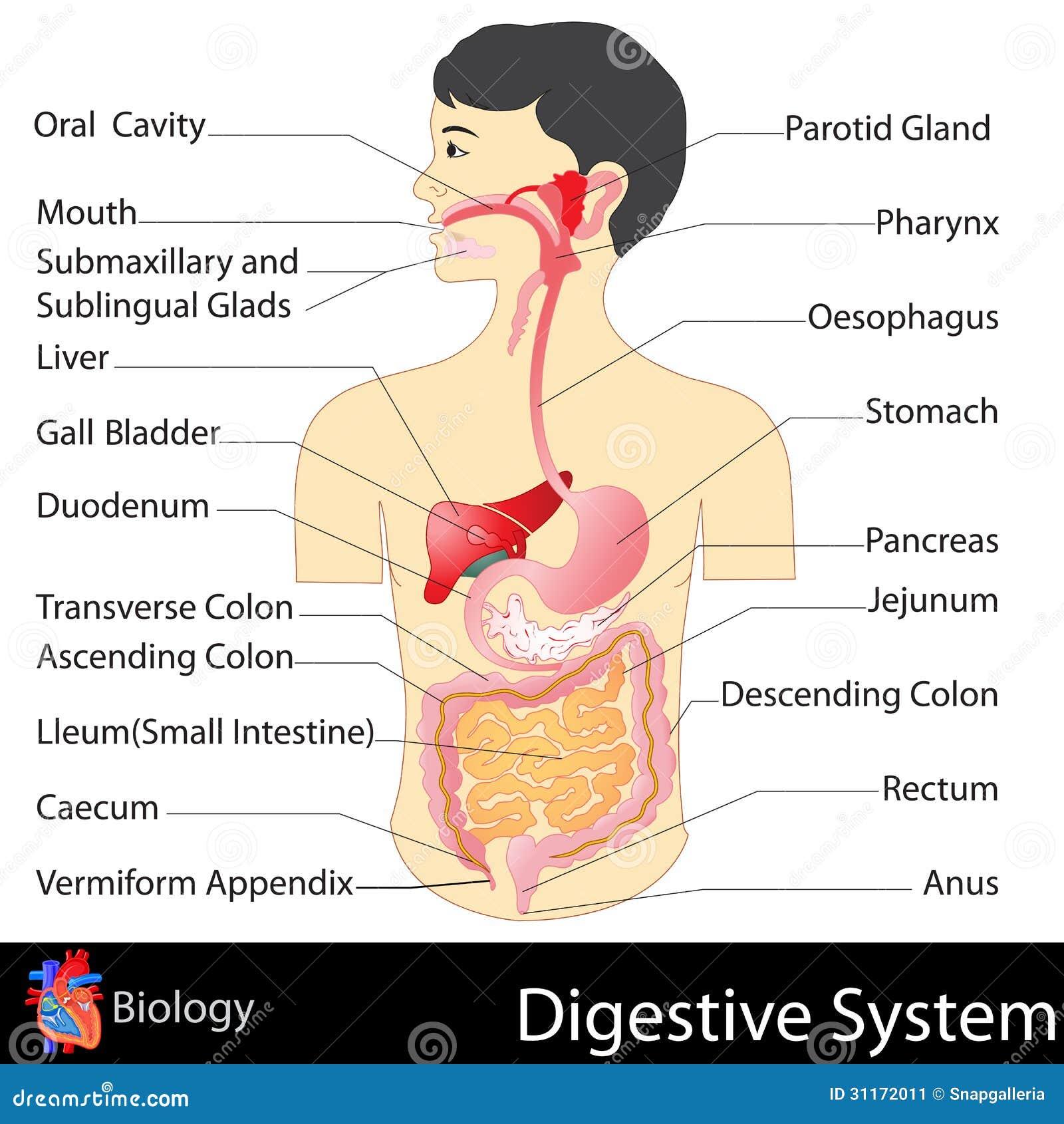 sistema digestivo ilustraci n del vector ilustraci n de ilustraci n 31172011. Black Bedroom Furniture Sets. Home Design Ideas