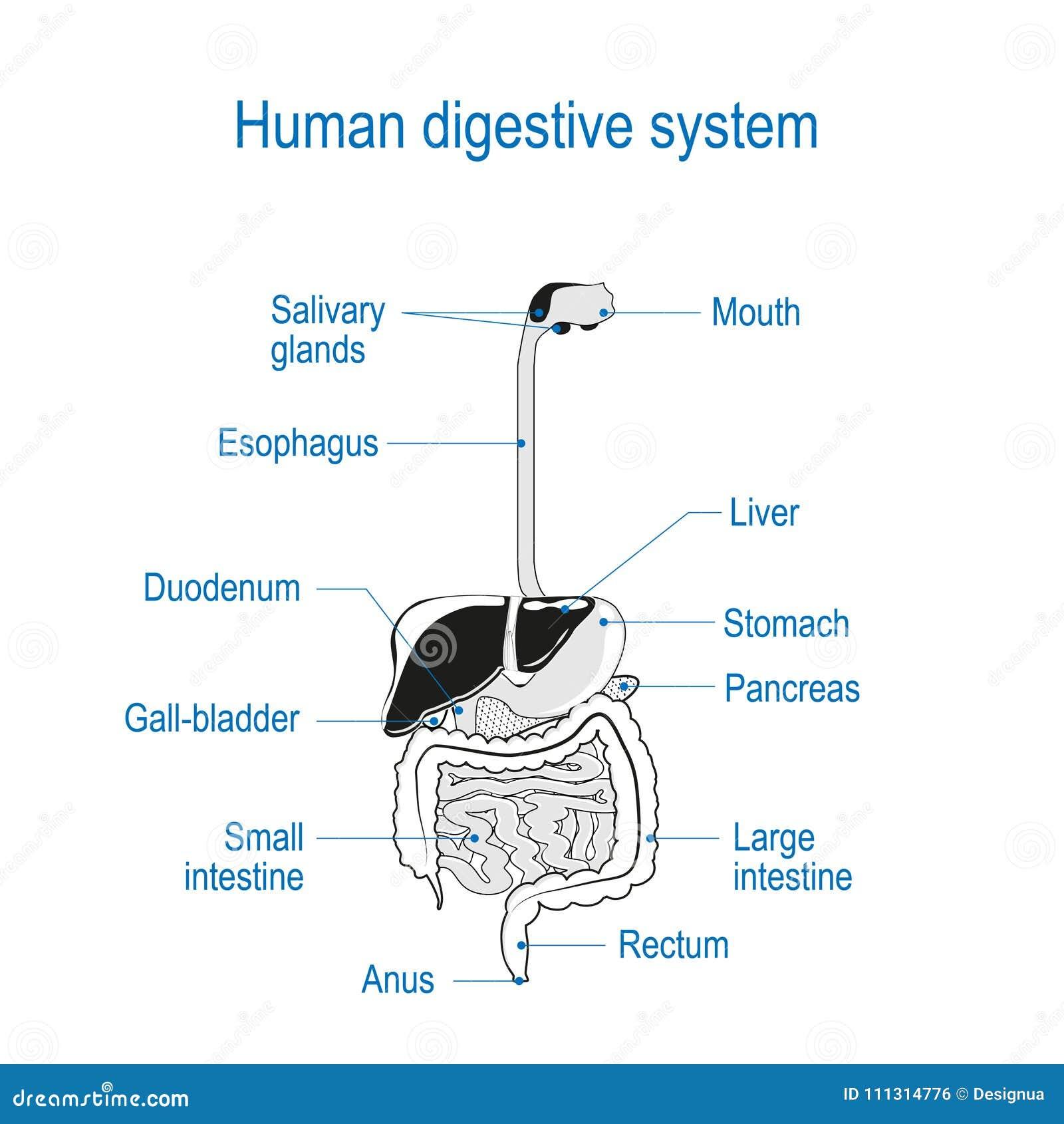 Sistema digestivo humano ilustración del vector. Ilustración de ...