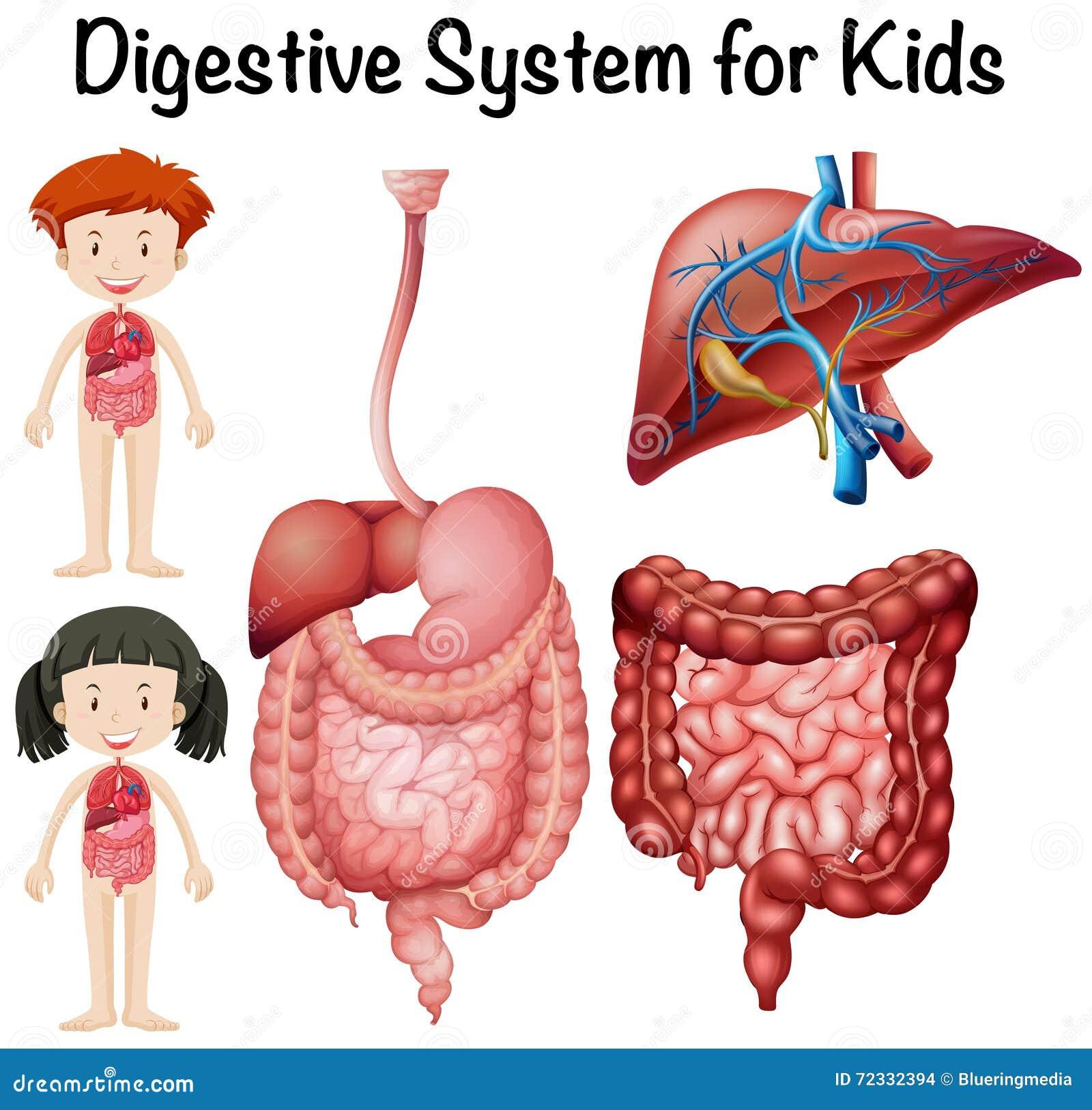 Sistema Digestivo Para Los Niños Ilustración del Vector ...