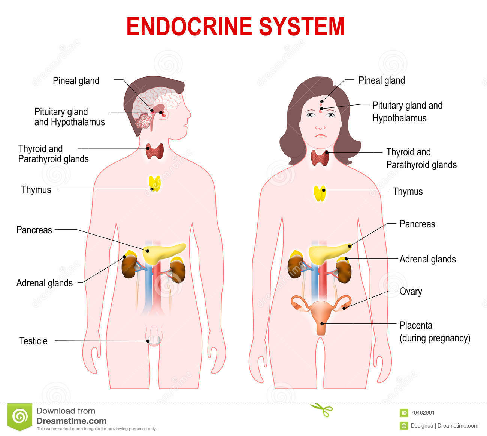 Excelente Sistema Endocrino Para Colorear Molde - Enmarcado Para ...