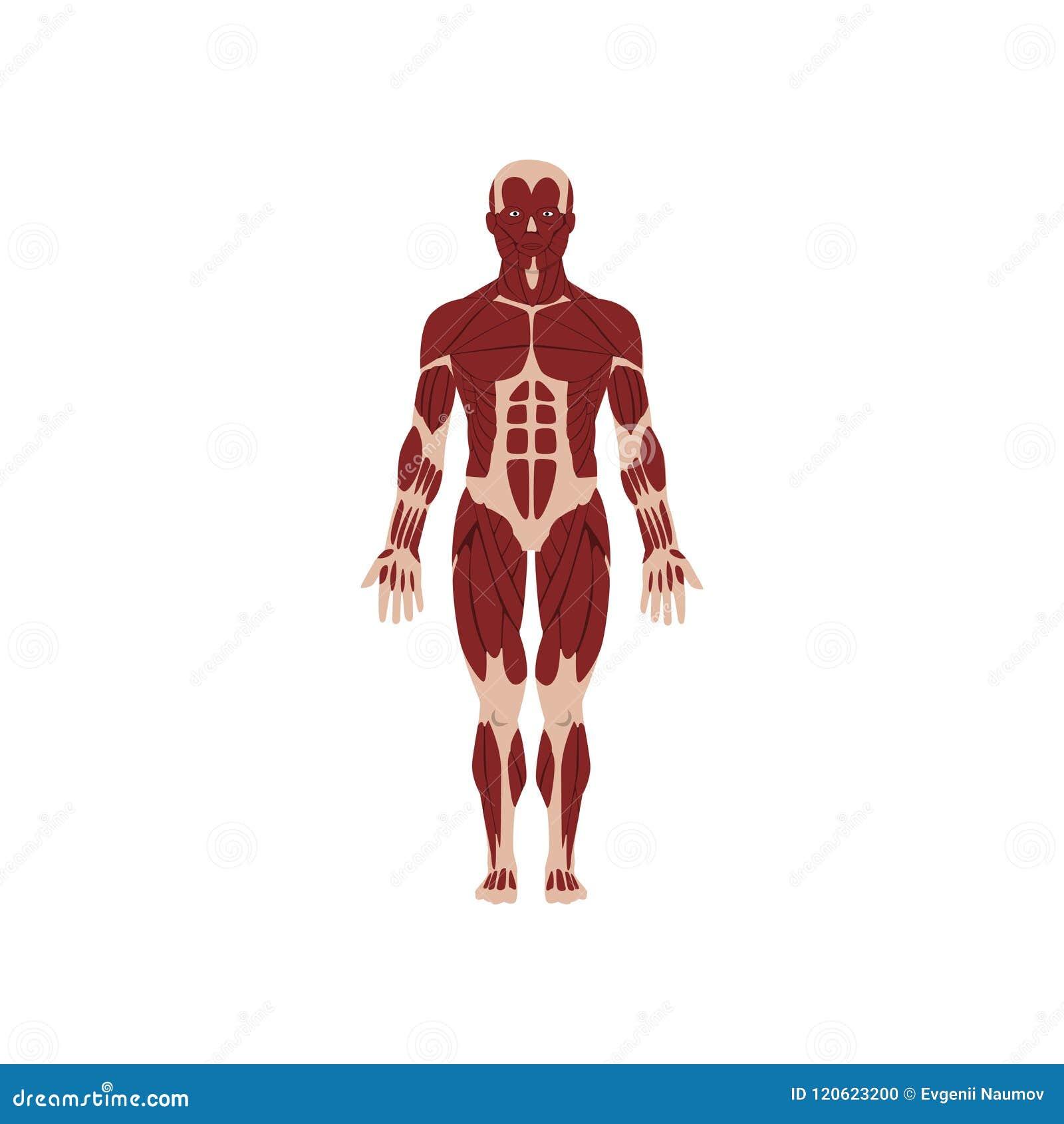 Sistema Esquelético Humano, Anatomía Del Ejemplo Del Vector Del ...