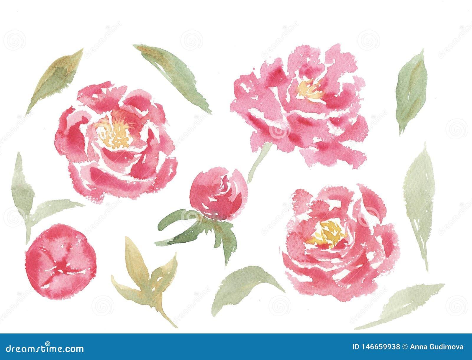 Sistema exhausto de la acuarela de la mano de flores y de hojas de la peonía