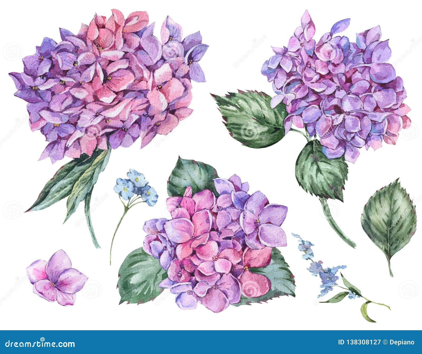 Sistema floral del verano de la acuarela de la hortensia floreciente del vintage