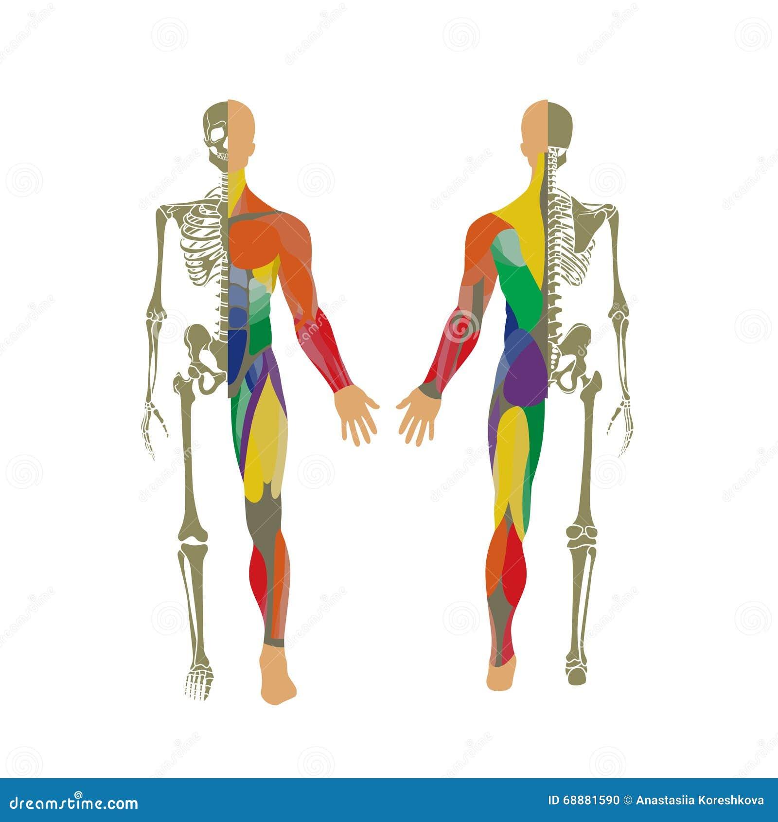 Magnífico Sistema Muscular Fotos Etiquetadas Inspiración - Imágenes ...