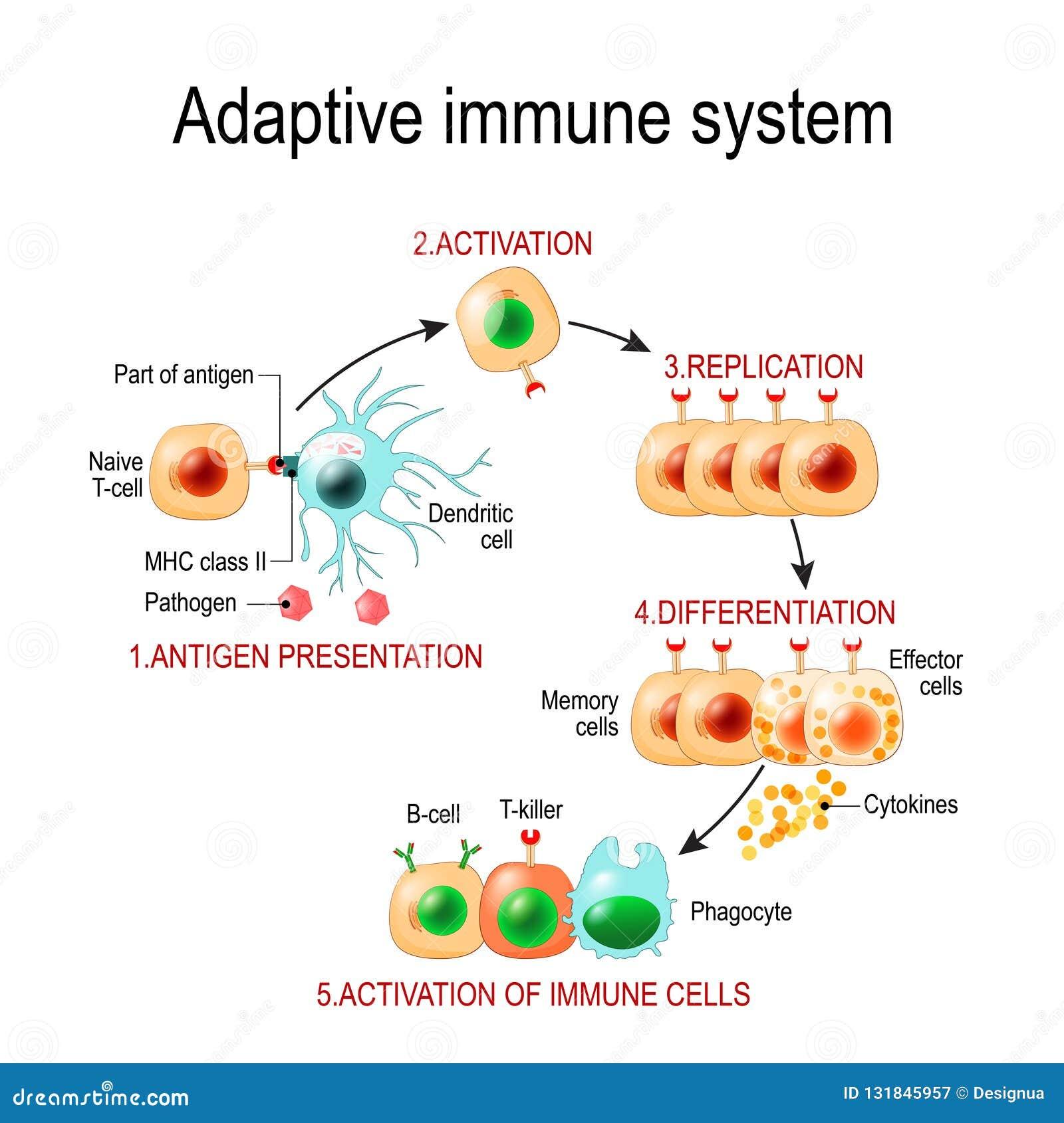 Sistema inmune adaptante de la presentación de antígeno a la activación o