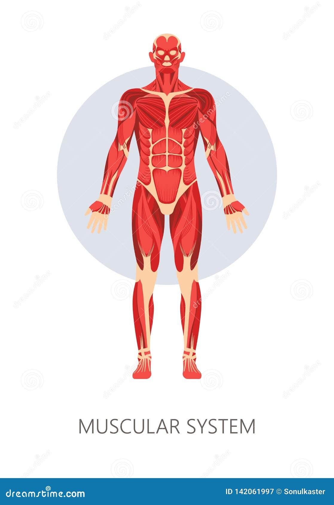 Sistema Muscular Músculos Isolados Da Anatomia Do Corpo