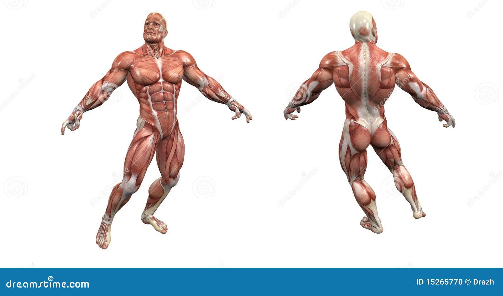Sistema muscular masculino stock de ilustración. Ilustración de ...