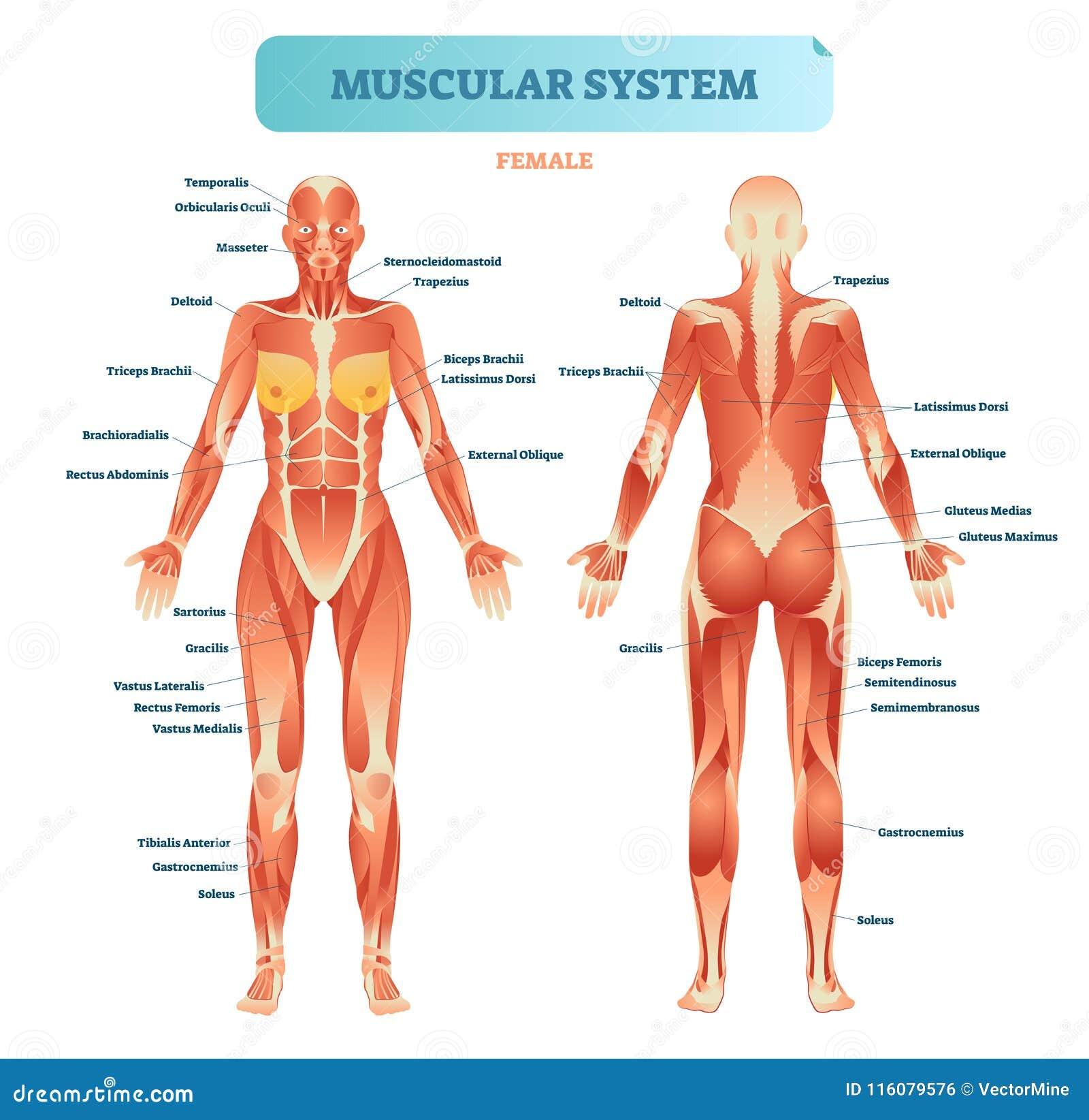 Sistema Muscular Masculino, Diagrama Anatómico Completo Con Esquema ...