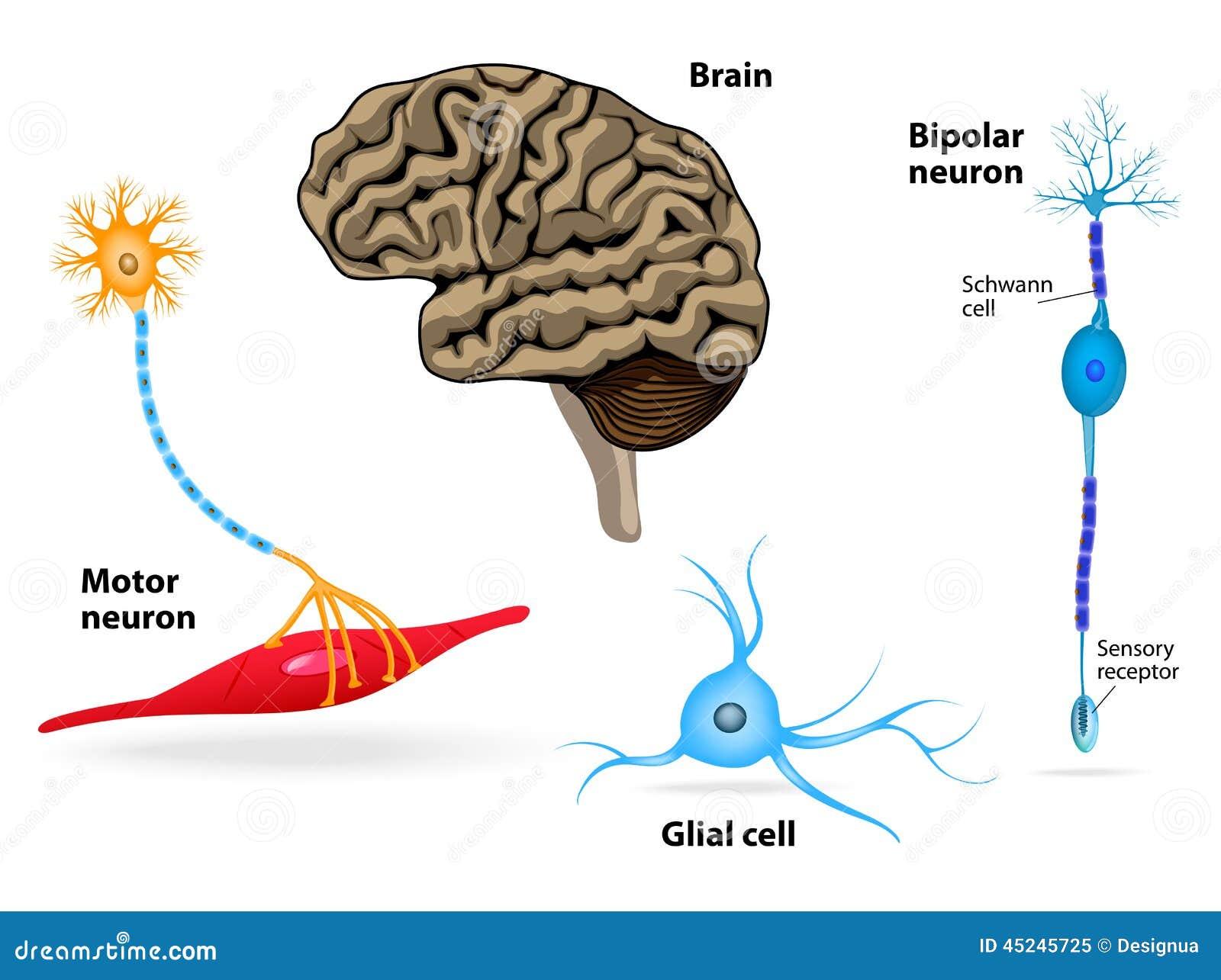 Sistema Nervioso Anatomía Humana Ilustración del Vector ...
