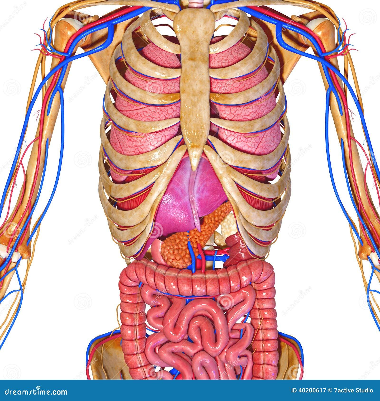Sistema Nervioso Con Los órganos Stock de ilustración - Ilustración ...