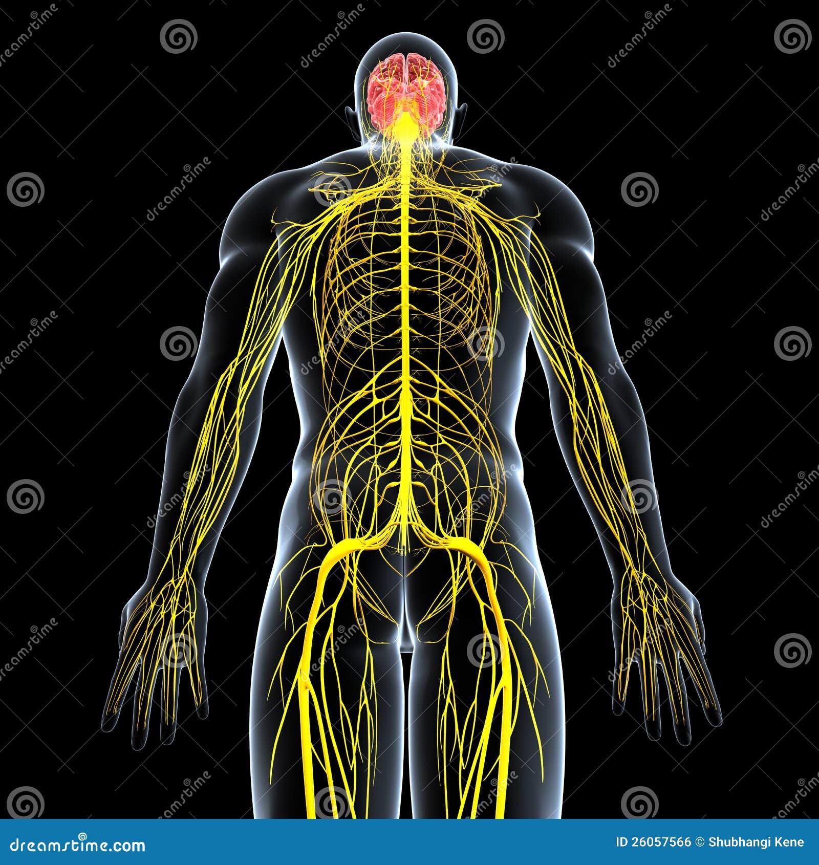 Sistema Nervioso De Varón Con El Cuerpo Trasero Completo Stock de ...
