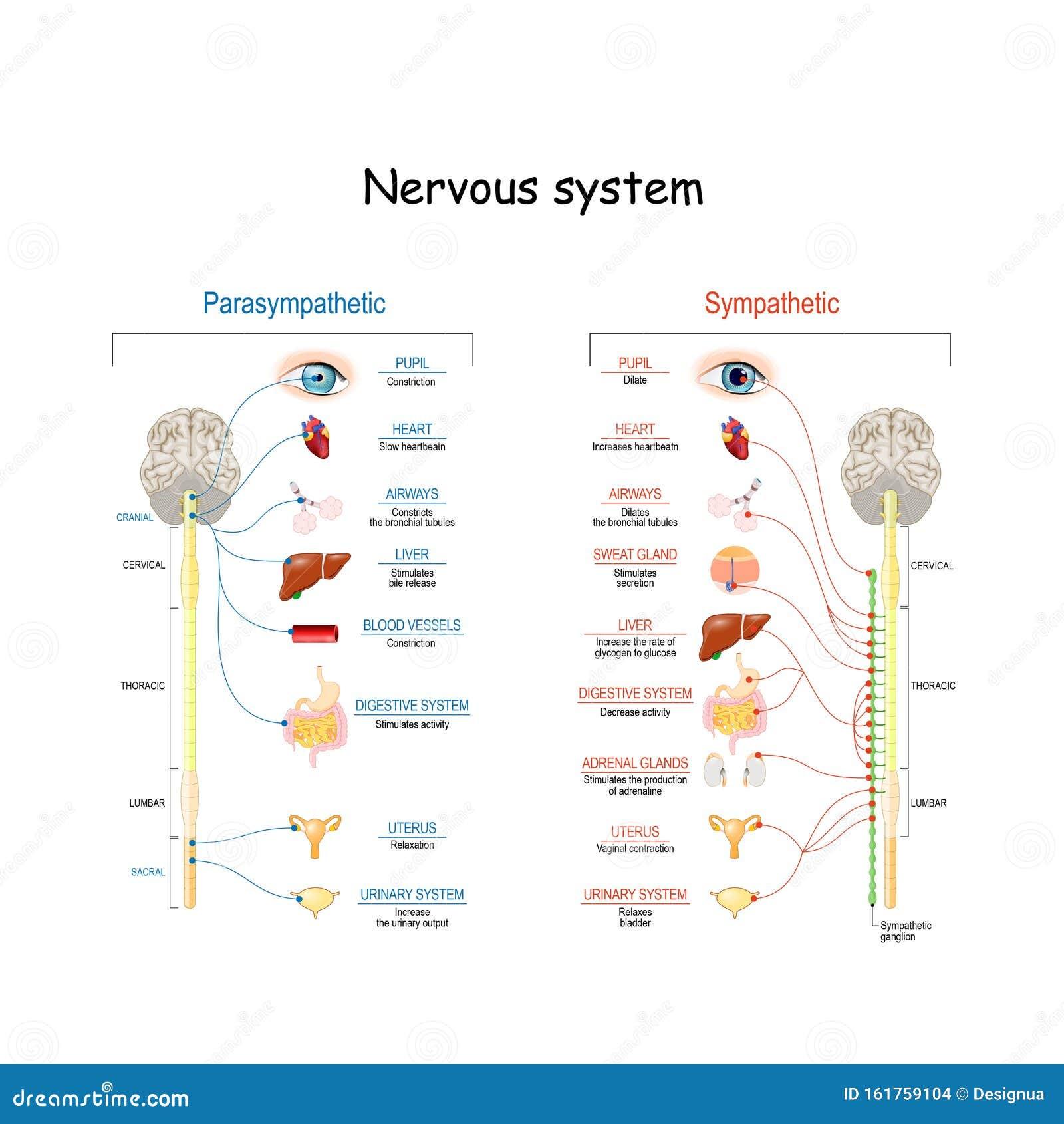 Sistema Nervioso Simpático Y Parasimpático Diferencia Ilustración Del Vector Ilustración De Periférico Educativo 161759104