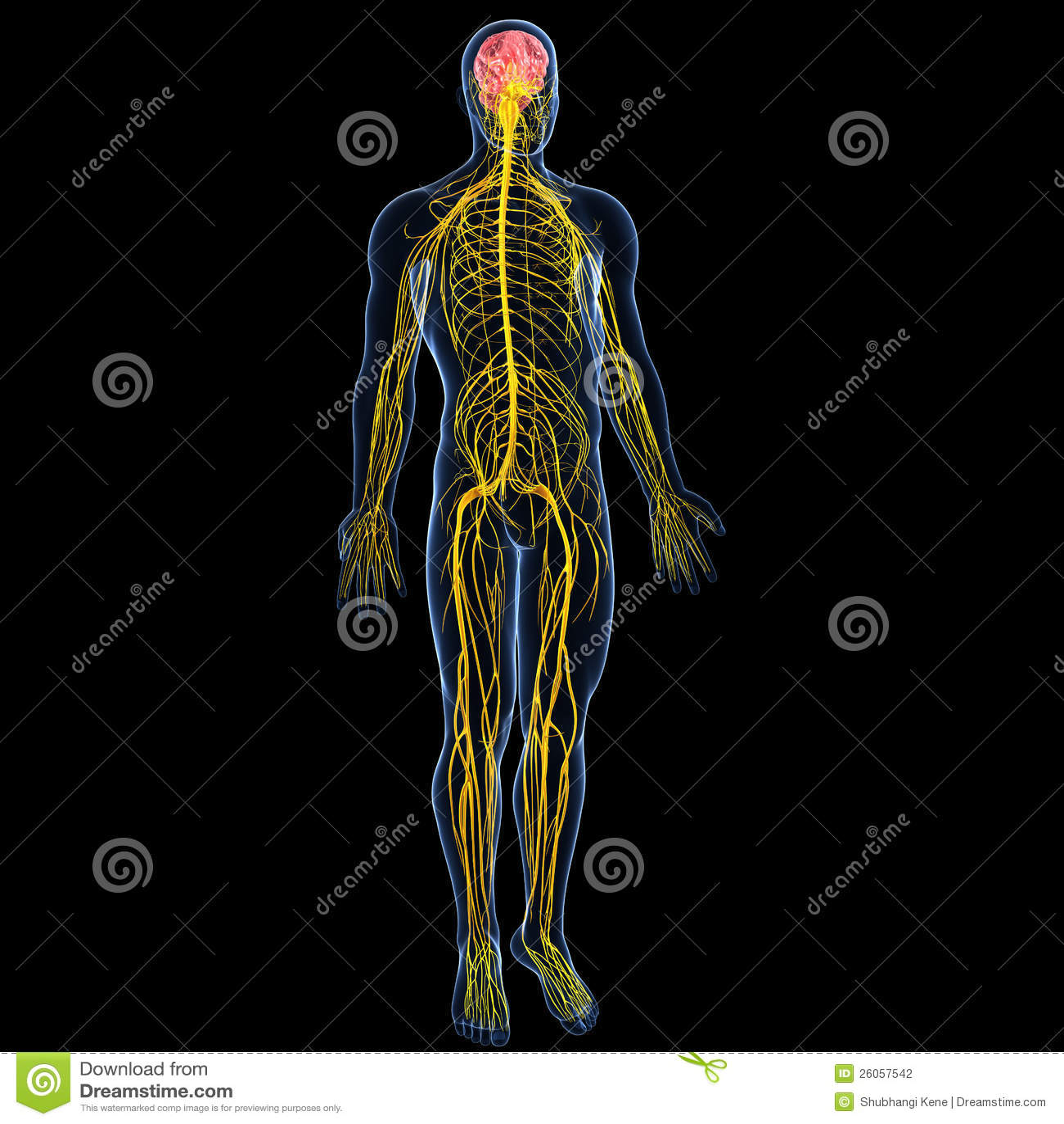 sistema nervoso com corpo completo do homem ilustra231227o