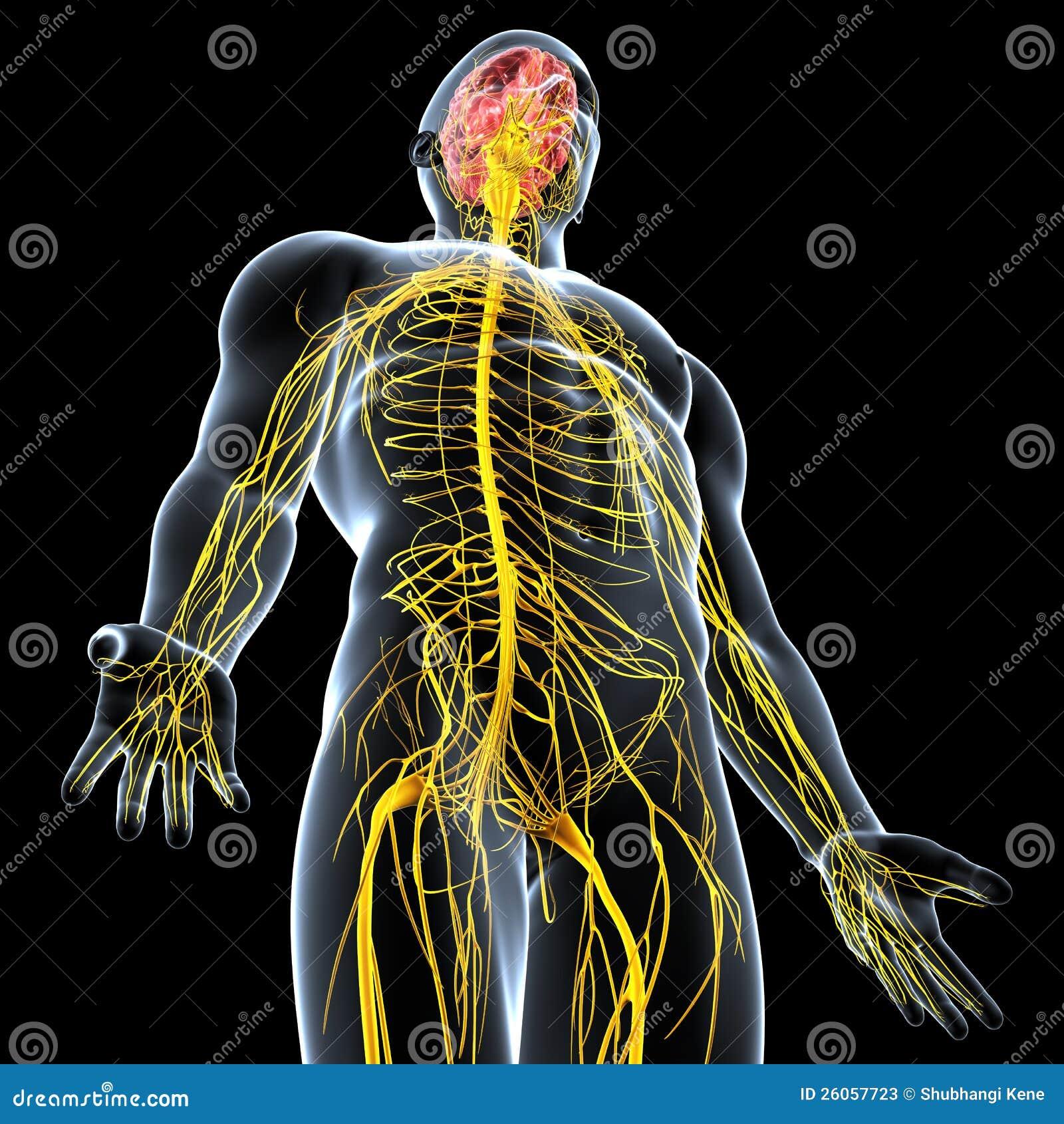 Sistema Nervoso Del Maschio Illustrazione Di Stock