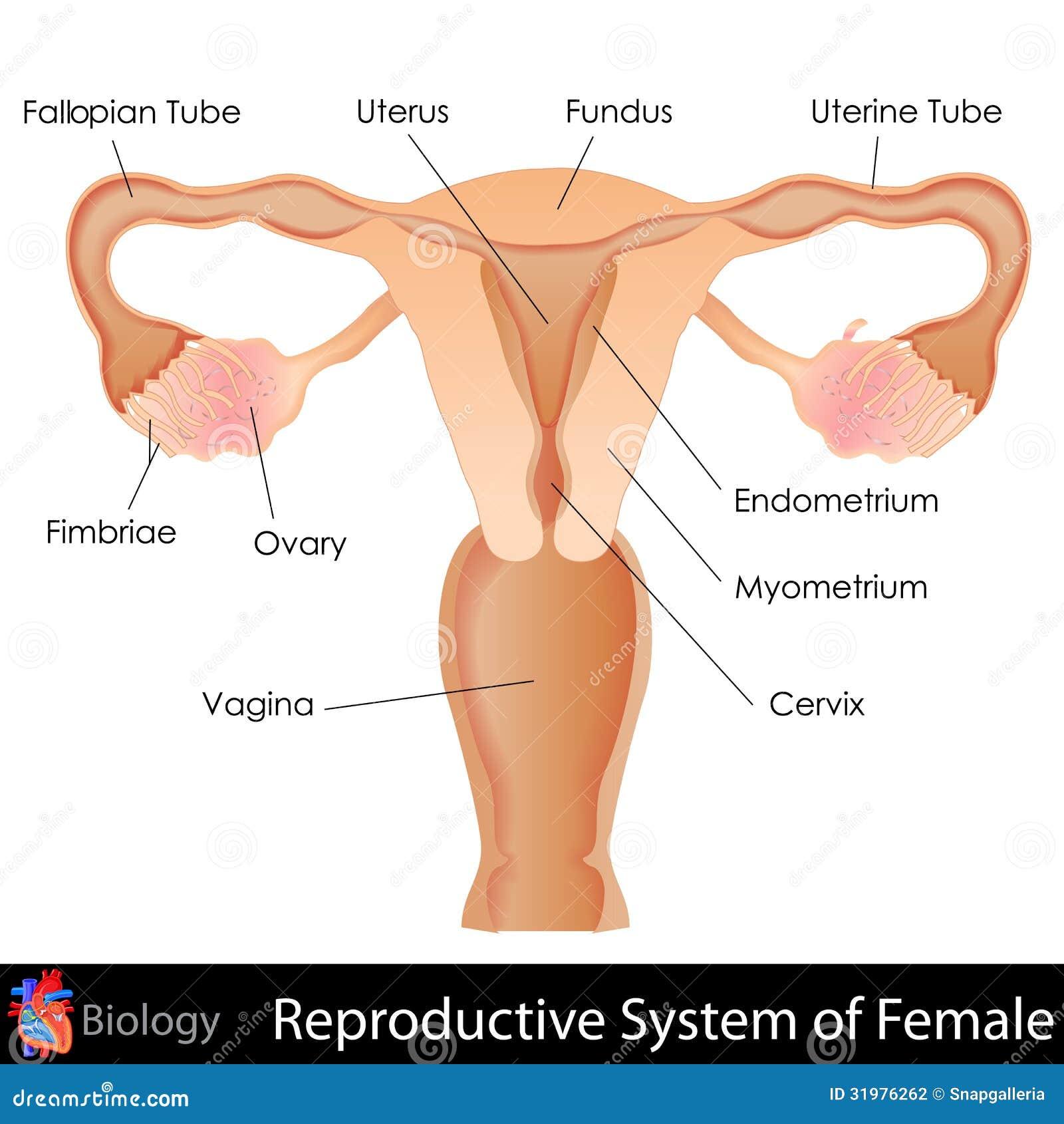 Sistema Reproductivo Femenino Ilustración del Vector - Ilustración ...