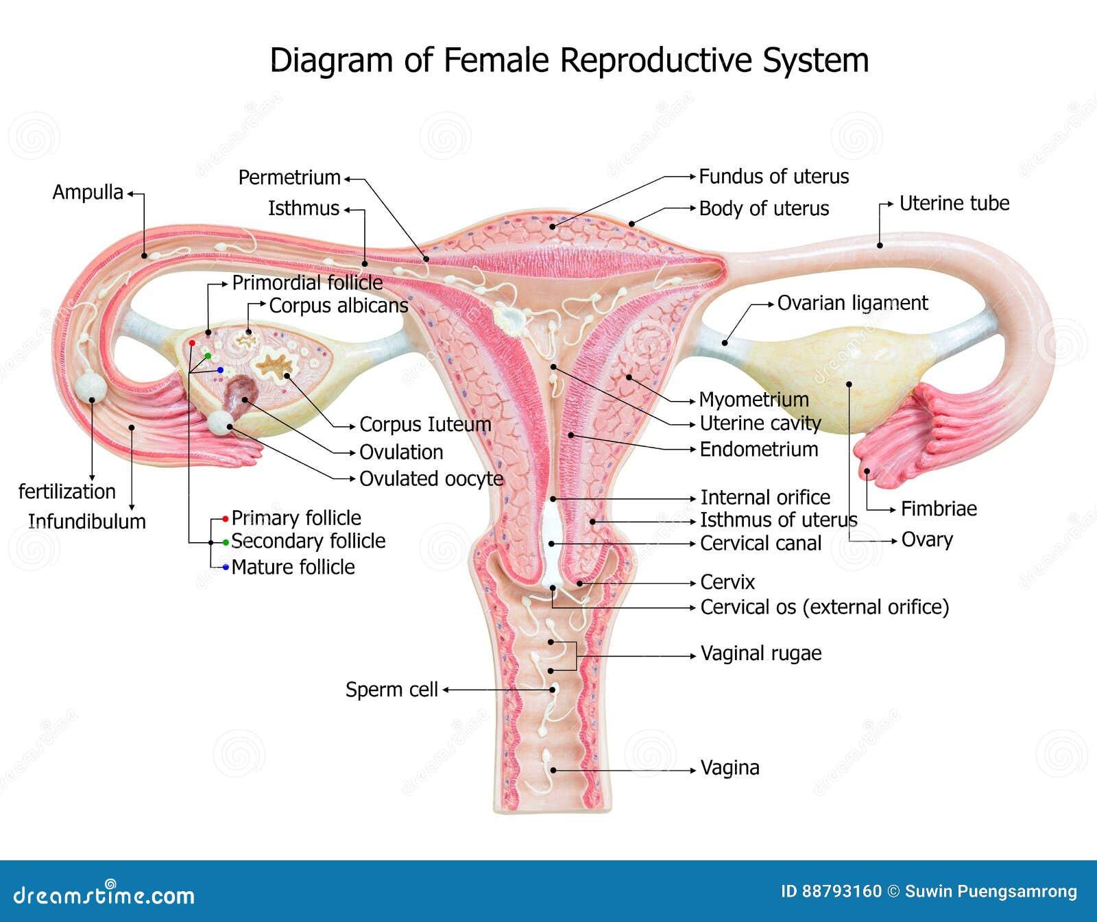 Sistema Reproductivo Femenino, Diagrama De La Imagen Stock de ...