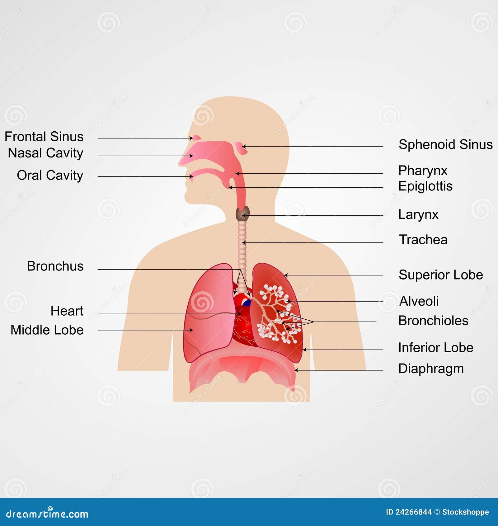 Sistema respiratorio ilustraci n del vector ilustraci n for Bedroom y sus partes en ingles