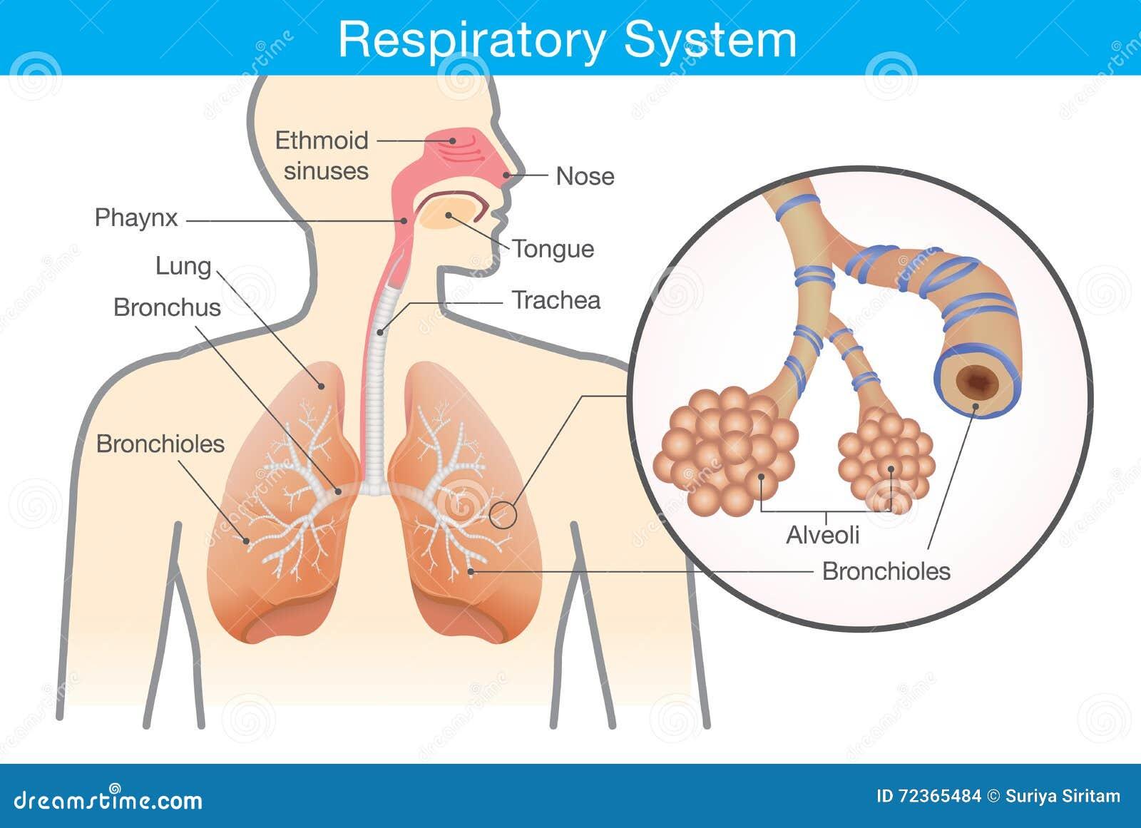 La Respiracion En El Ser Humano: Sistema Respiratorio De Ser Humano Ilustración Del Vector