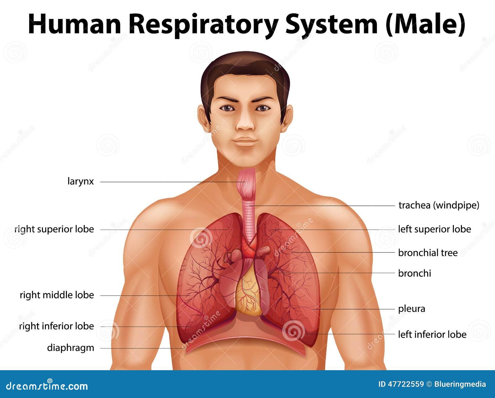 Sistema Respiratorio Humano Ilustración del Vector - Ilustración de ...
