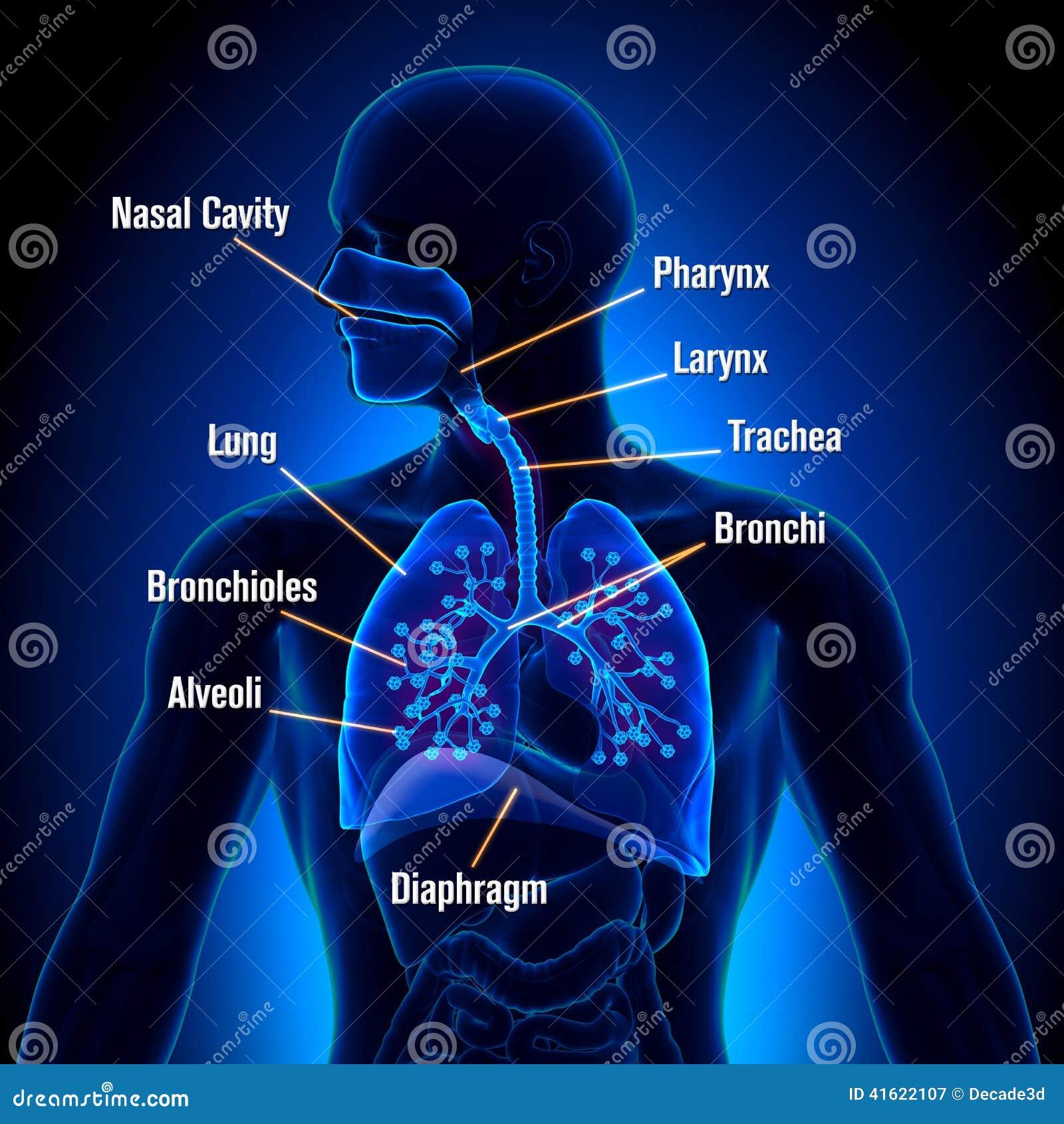 Sistema Respiratorio - Opinión De La Anatomía De Los Pulmones Stock ...